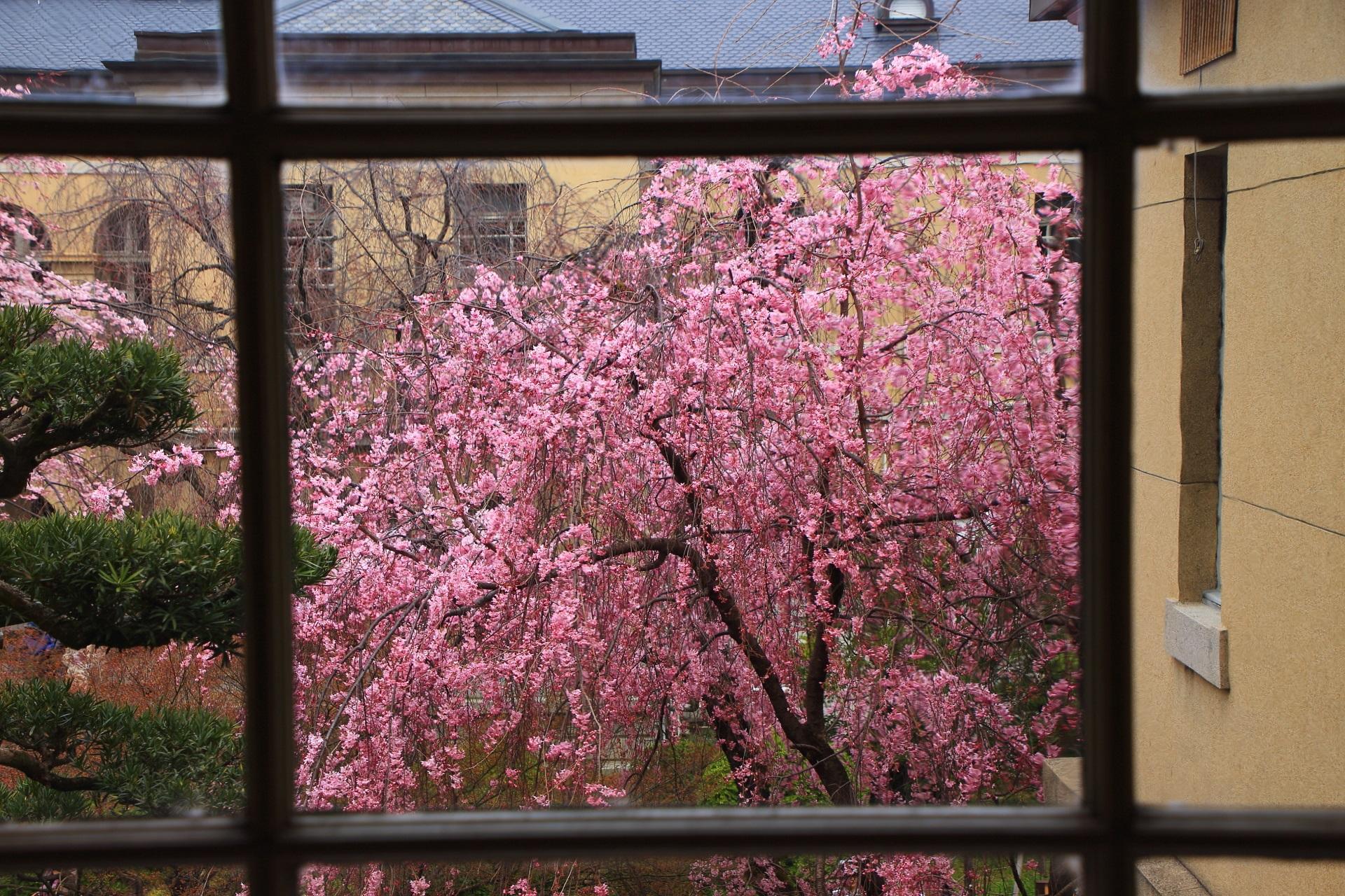 窓越しに見ると雰囲気が変わる京都府庁旧本館の桜