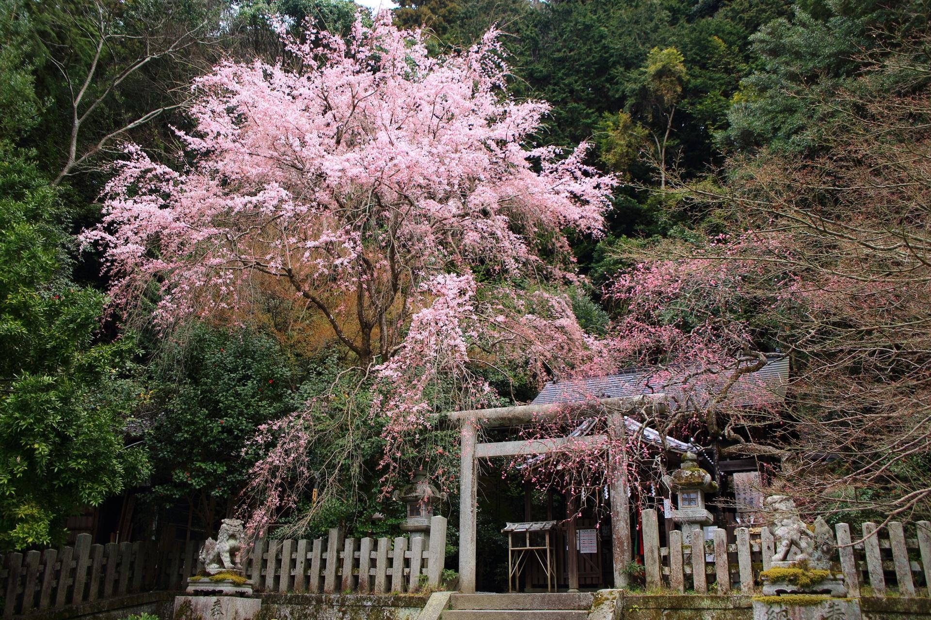 高画質 写真 桜 大豊神社