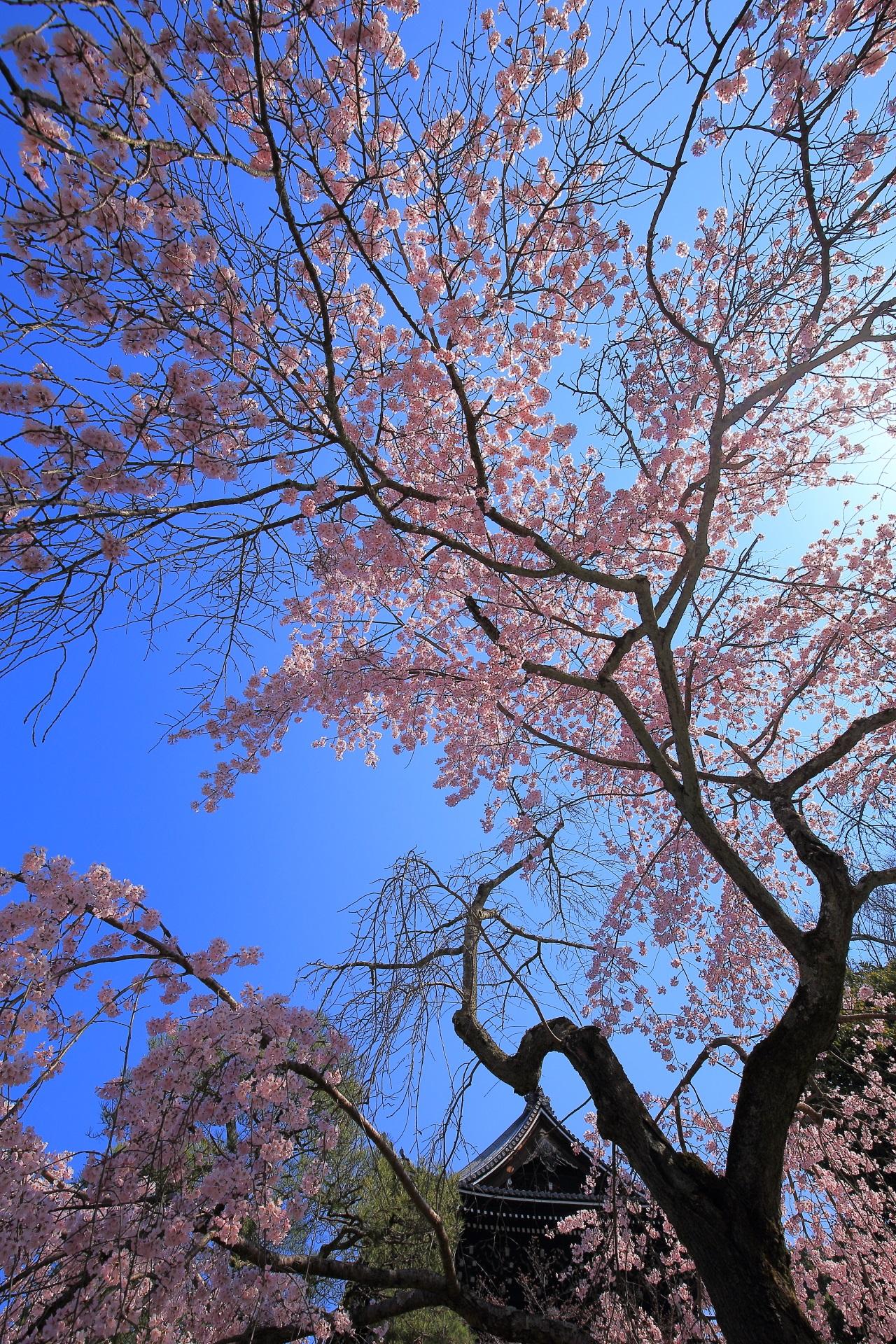 友禅苑の極上のしだれ桜と青空と知恩院三門の春の景色