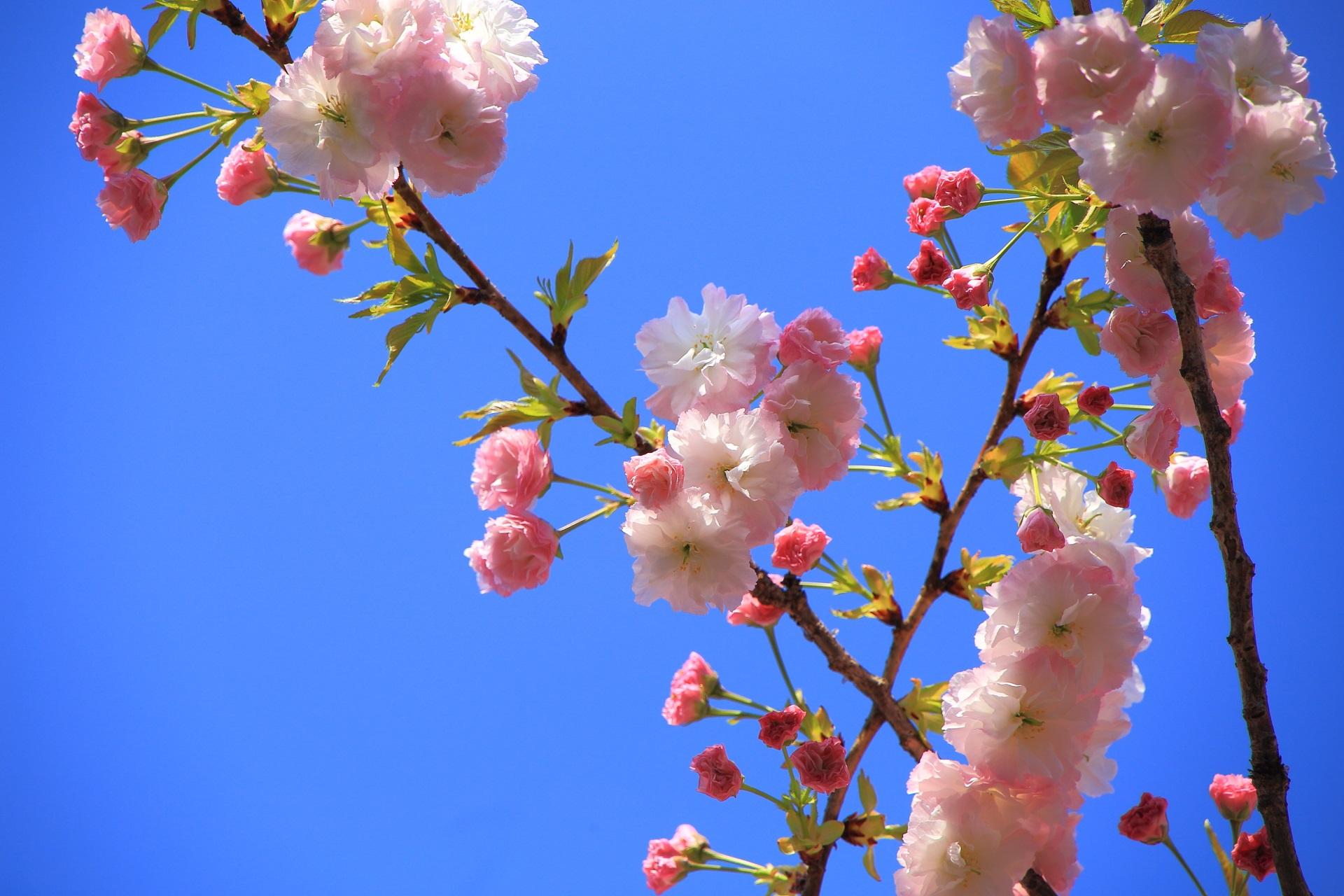 可愛い八重の桜