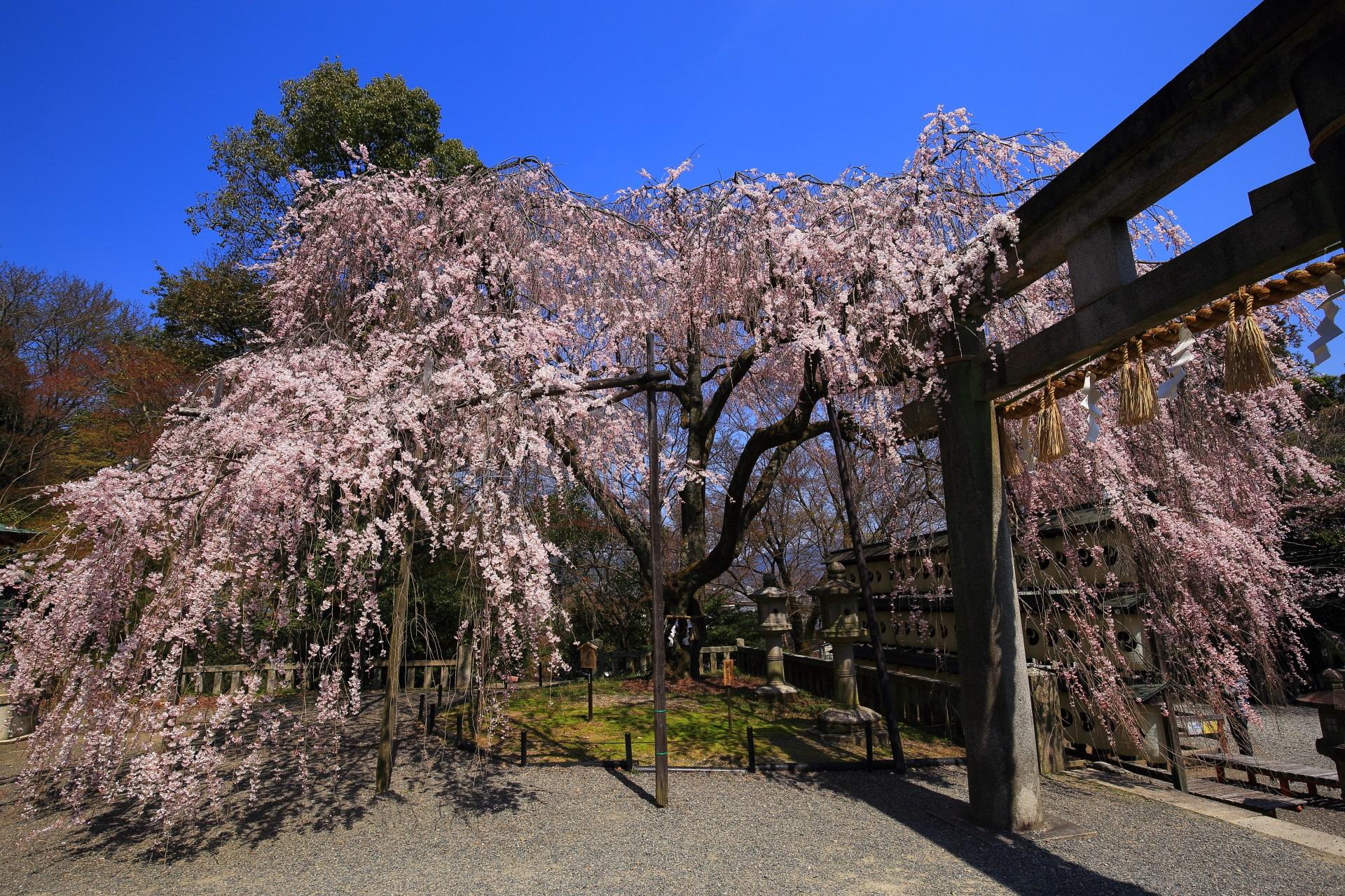高画質 写真 大石桜