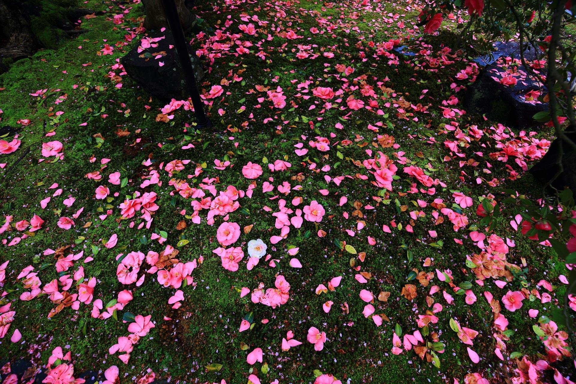 苔の上に華やかに散る椿の花