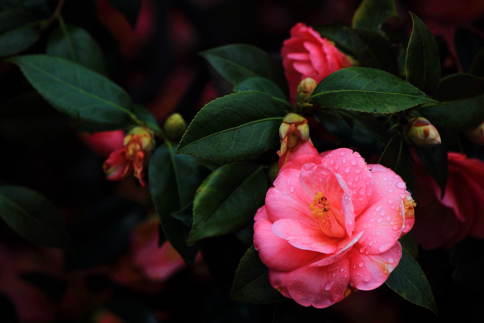 雨に濡れてしっとりした椿の花