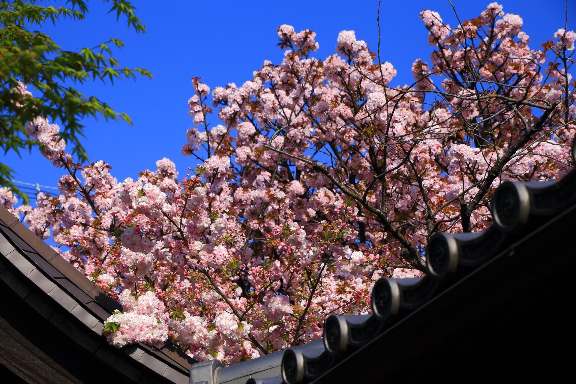 屋根にかかる満開の歓喜桜