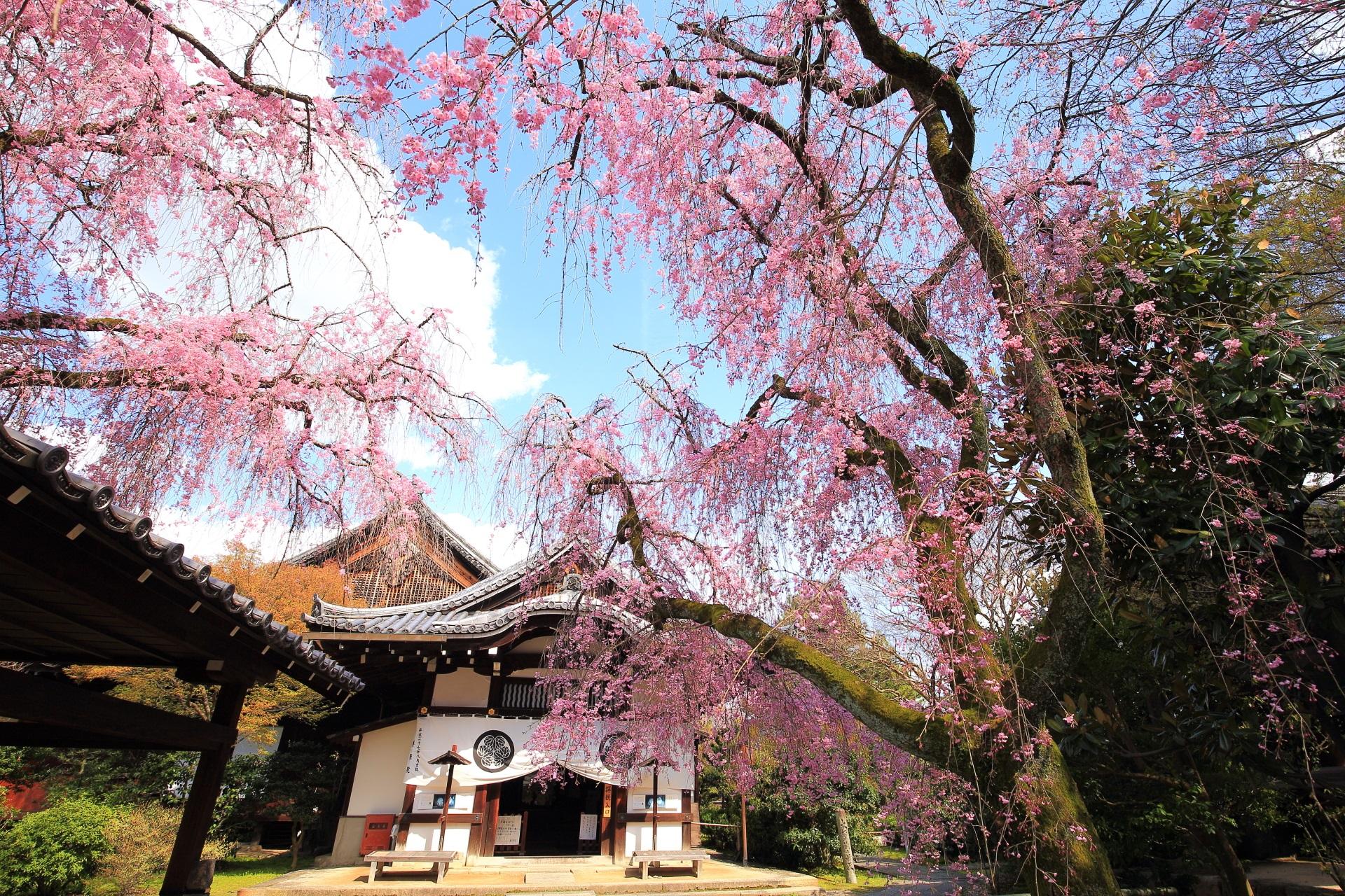久々の青空の下の玄関としだれ桜