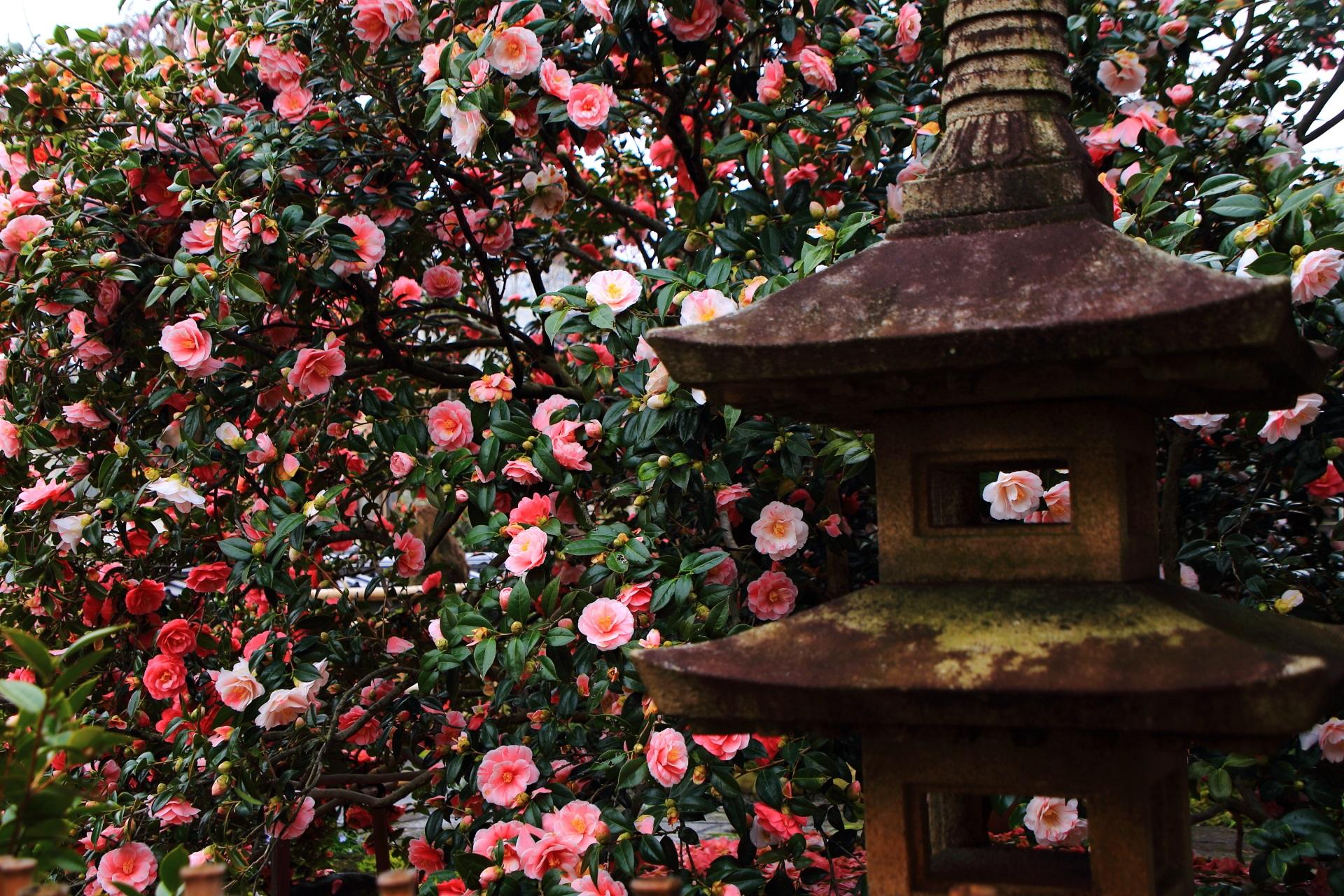 地蔵院の燈籠と春を彩る満開の椿