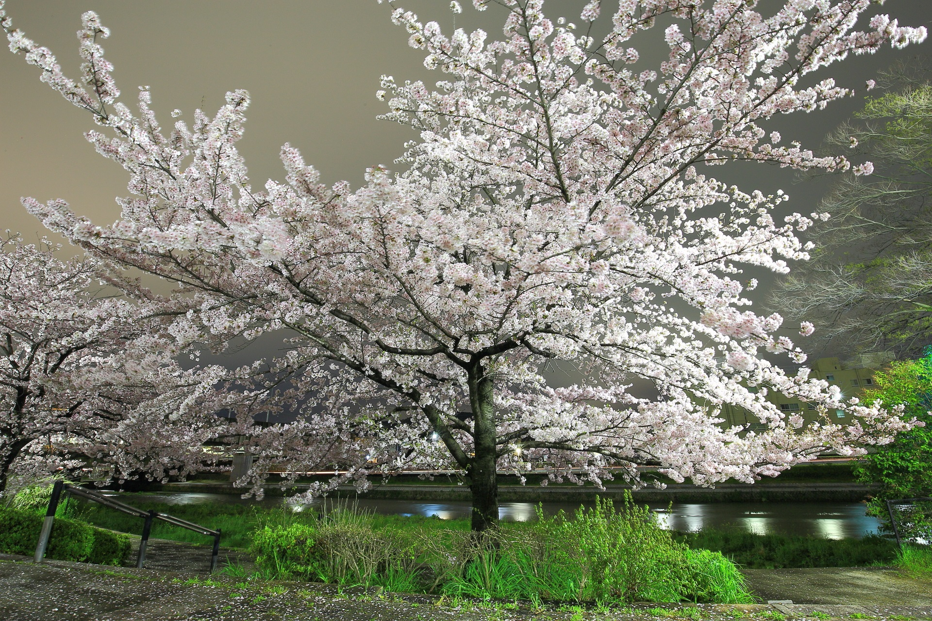 Kyoto Kamogawa-River cherry trees at evening