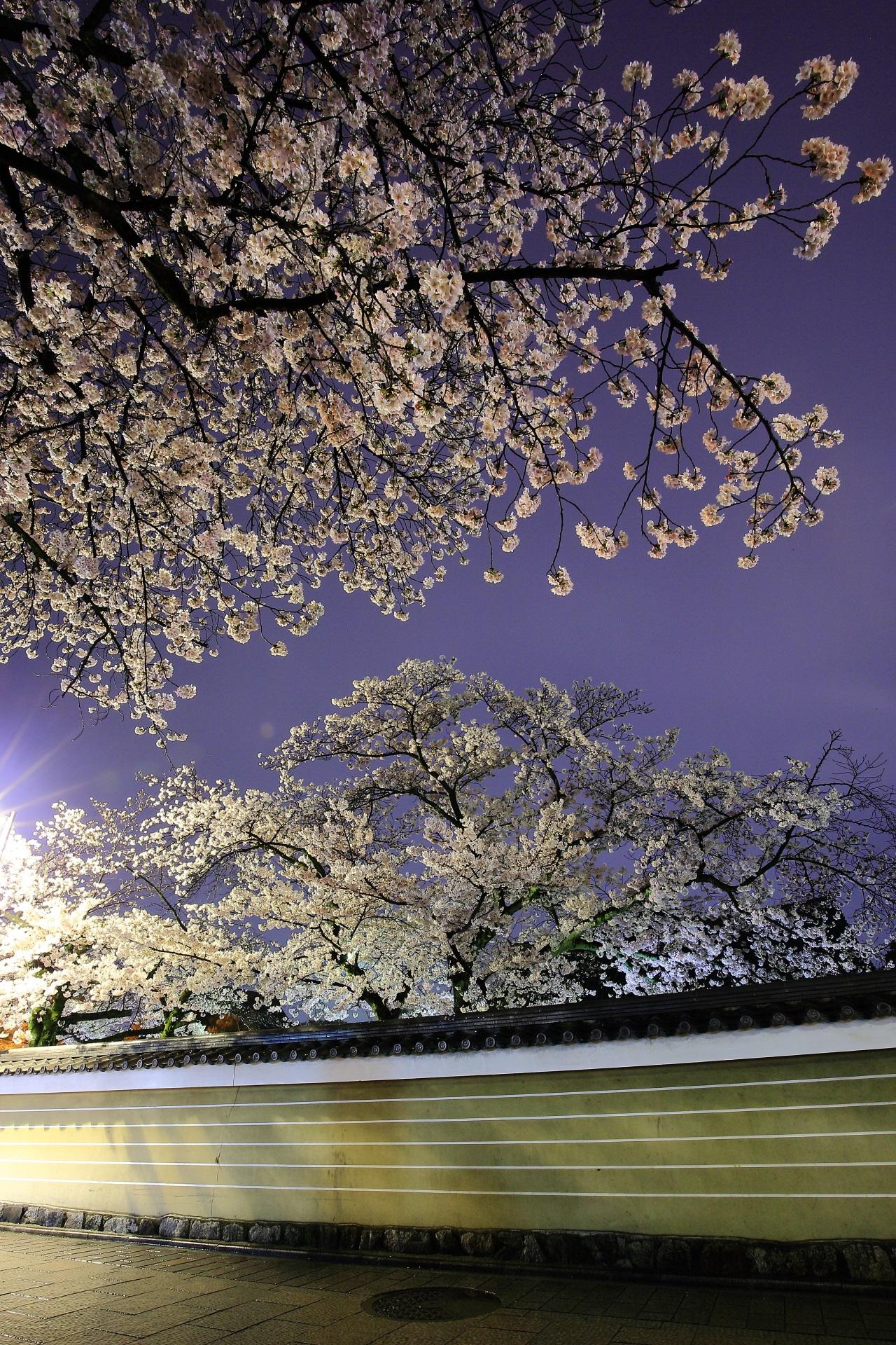 淡い街灯の明りに照らされて夜空を豪快に彩る桜