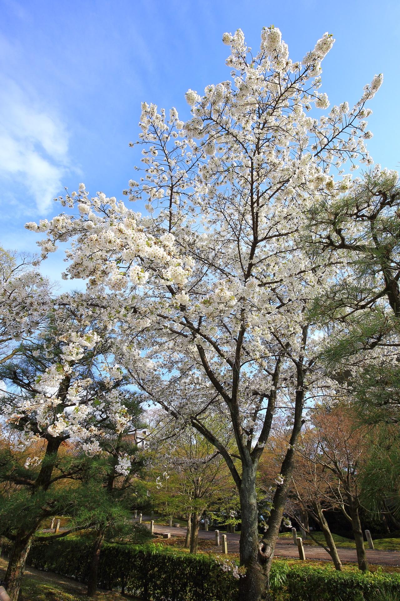 やはり青空が合う白い桜の花