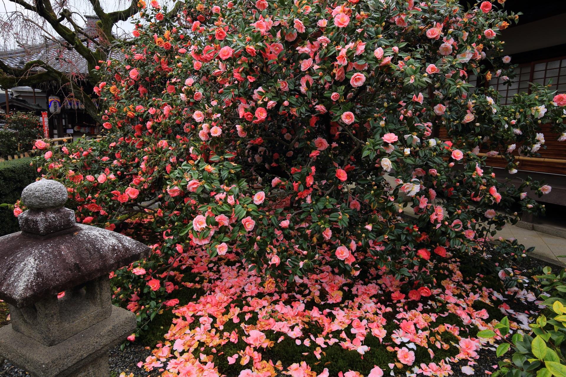 椿寺と称される地蔵院の素晴らしい椿と春の情景