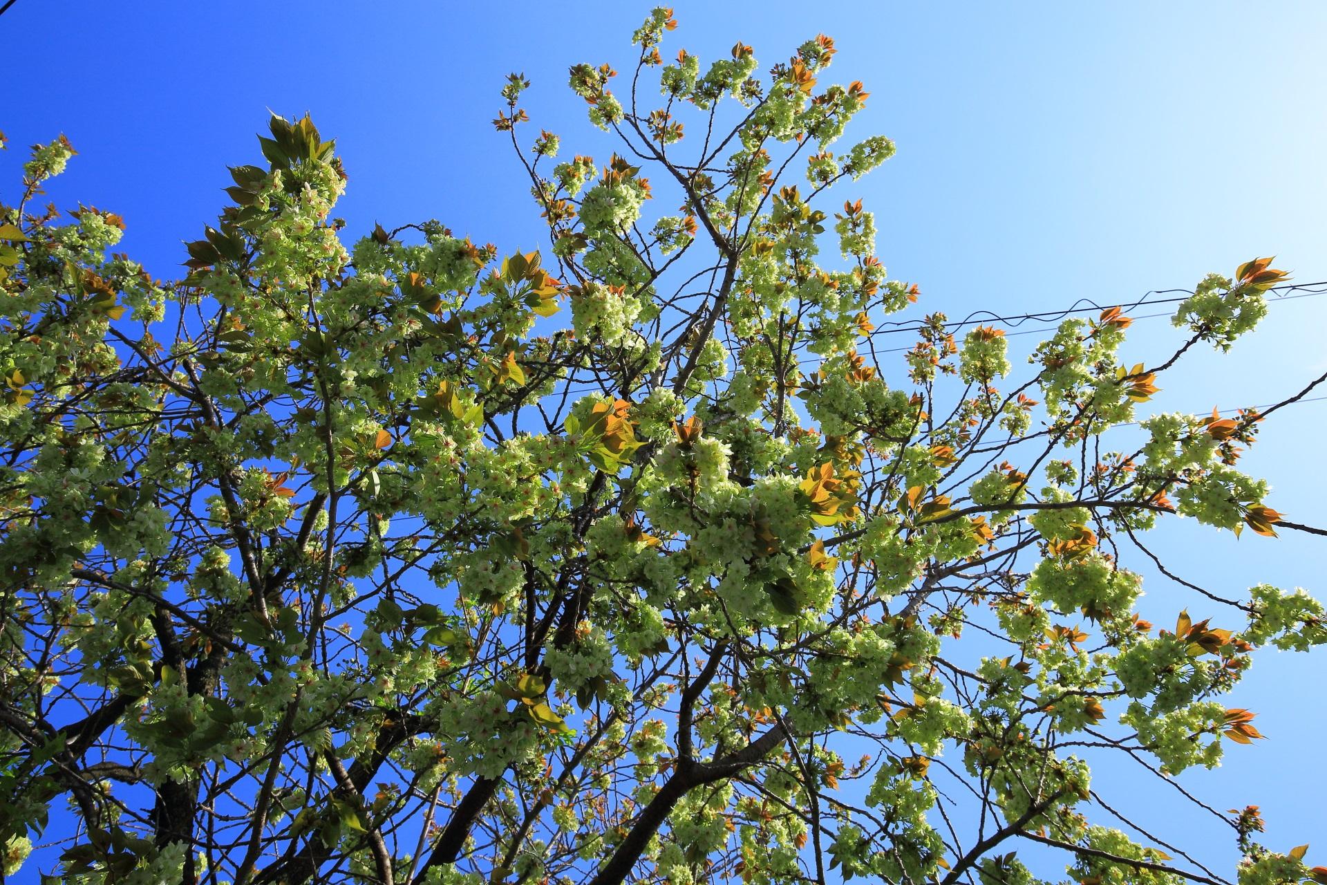 境内の外から眺めた(見上げた)御衣黄桜