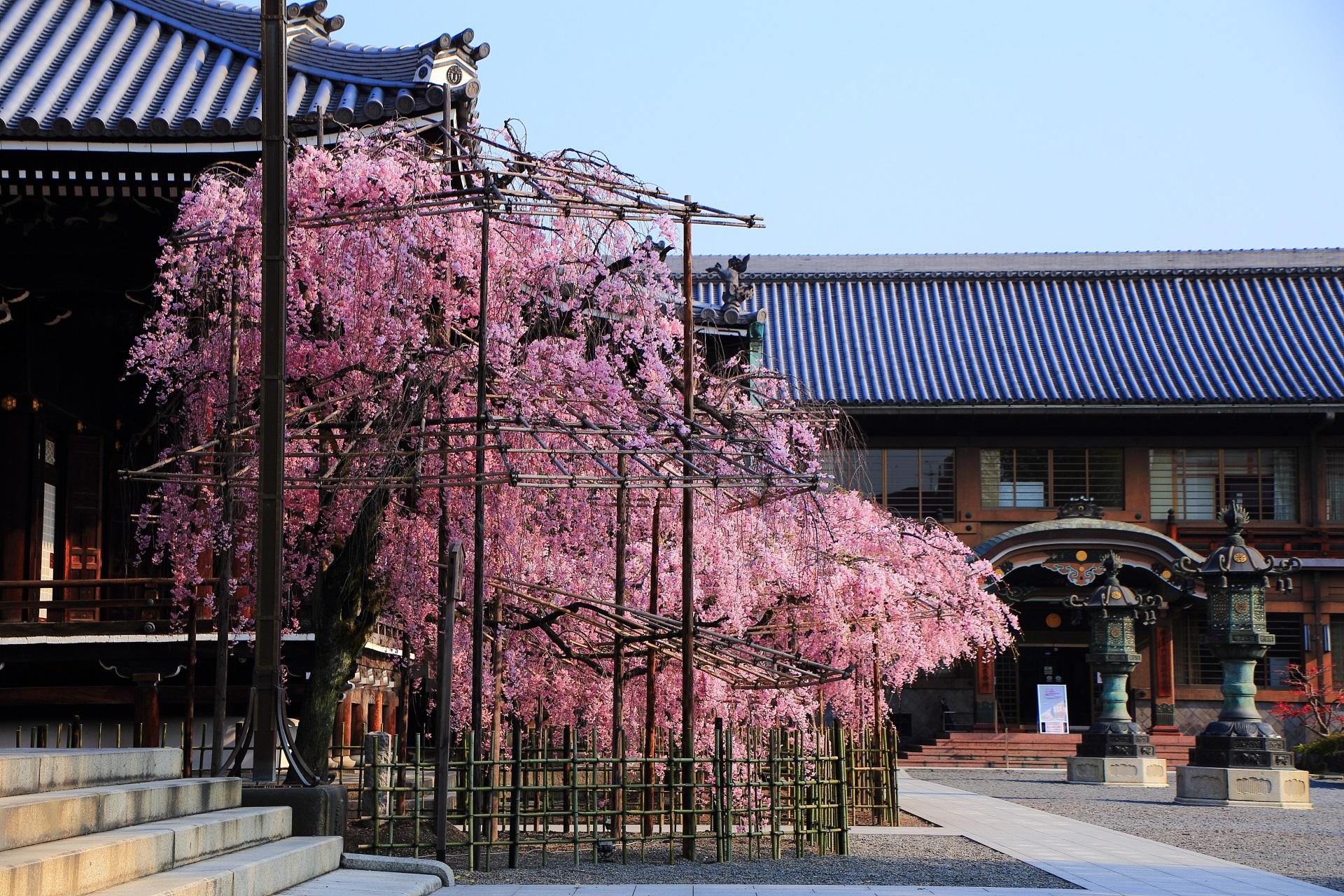 雰囲気のだいぶ異なる横から眺めた桜