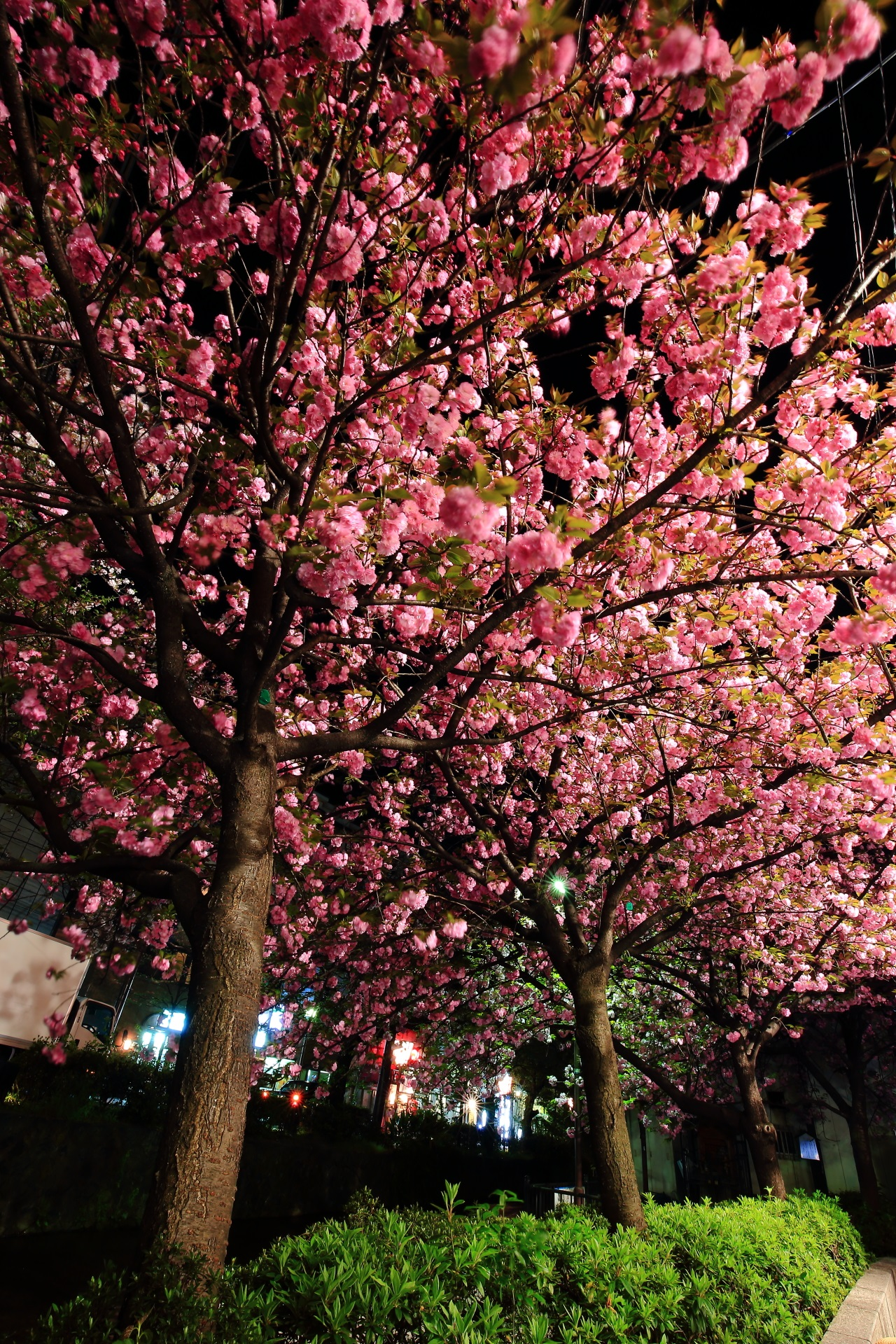Kyoto Kiya-machi-dori street cherry trees at evening