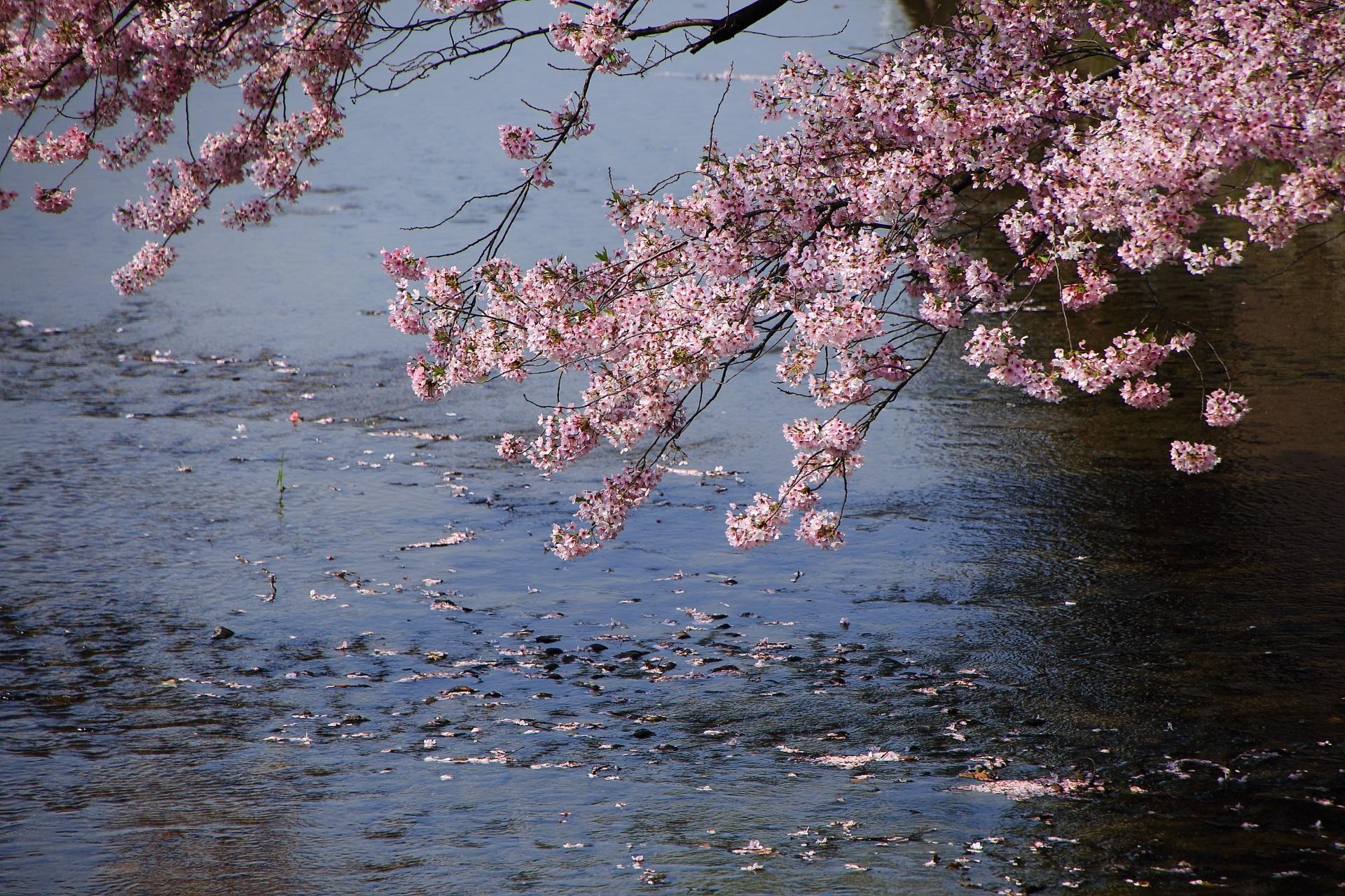 みそそぎ川に散る華やかな桜