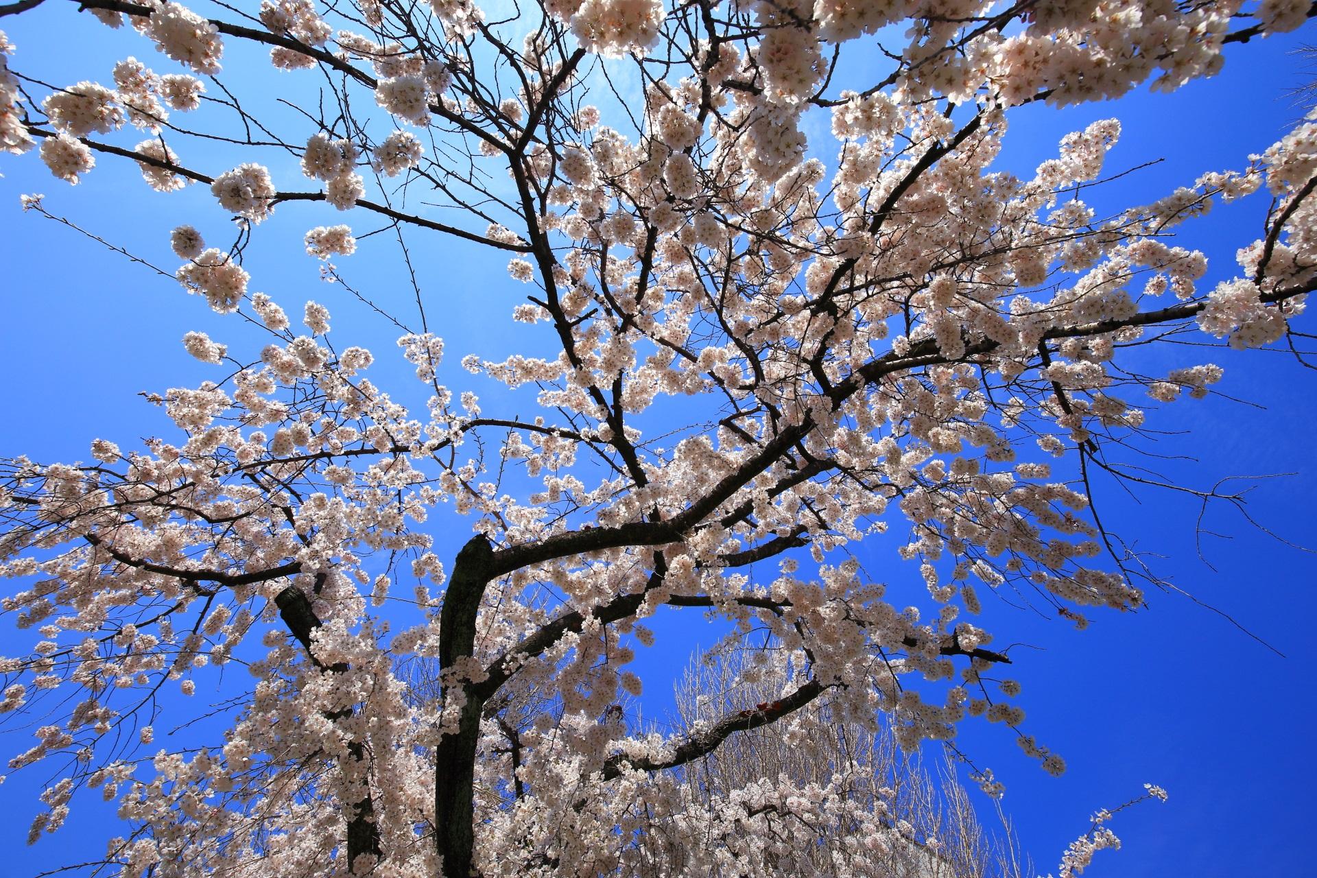 最高の青空から降り注ぐ煌びやかな桜