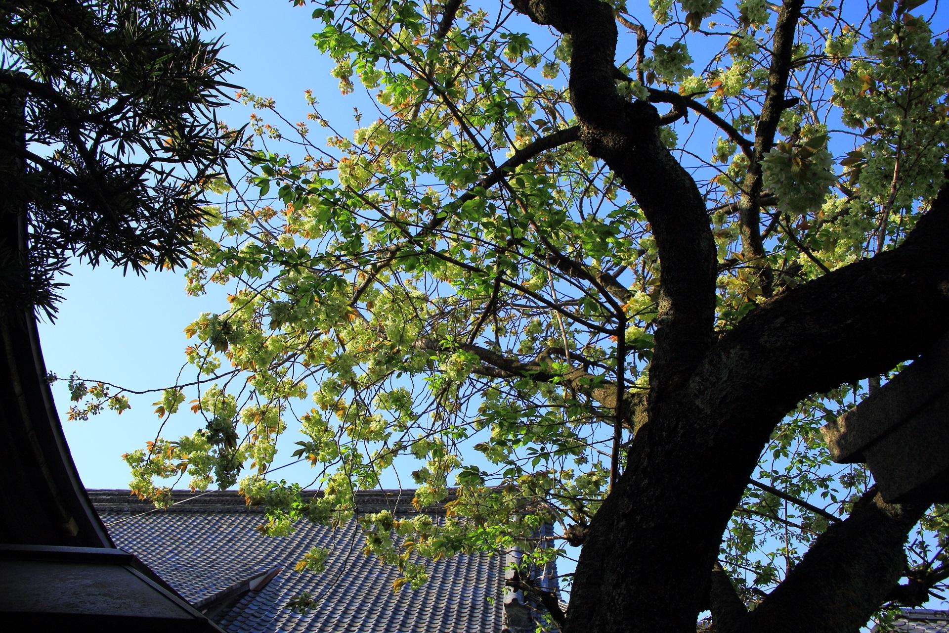 高画質 写真 御衣黄桜 雨宝院
