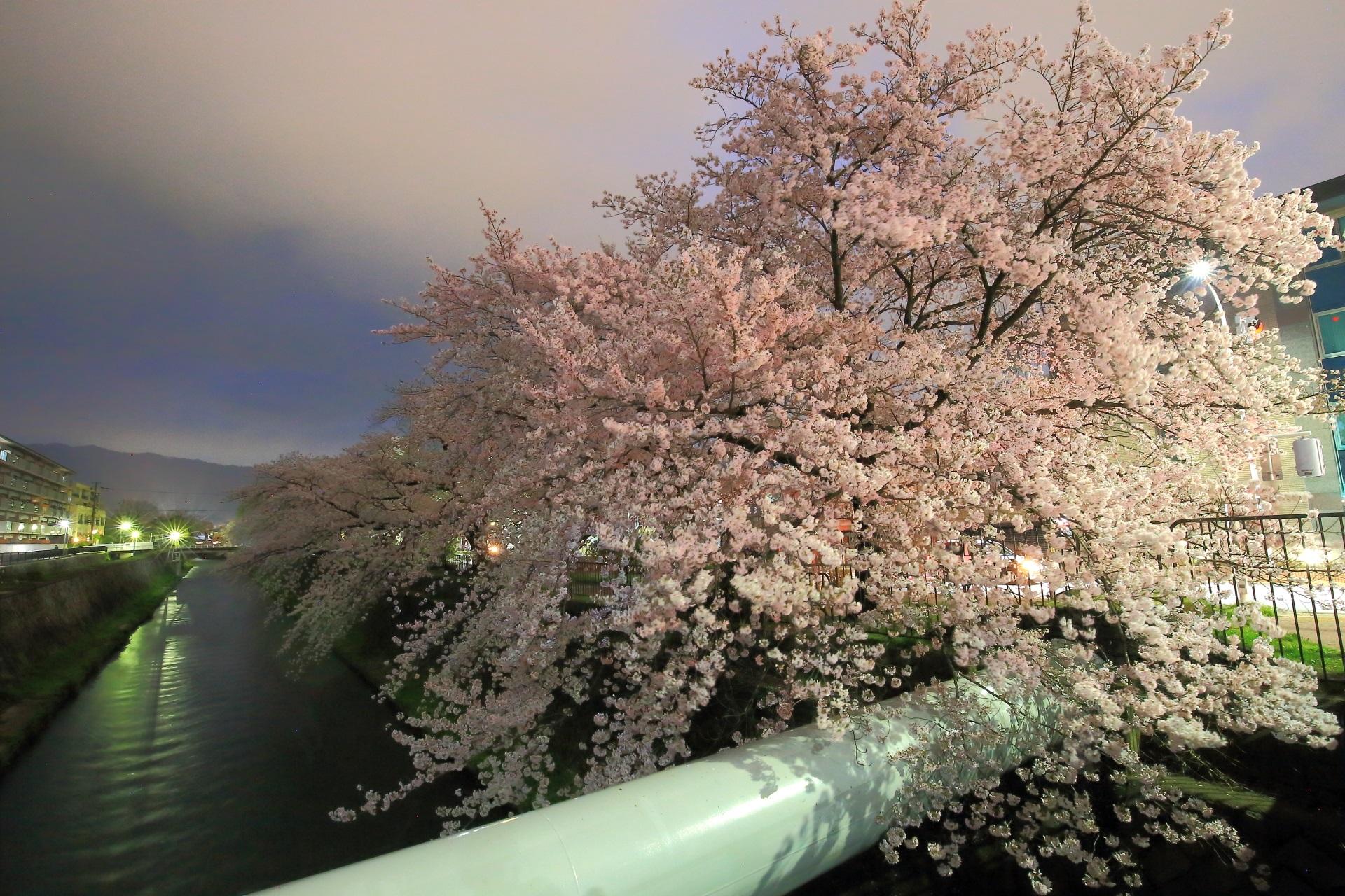 岡崎疏水の冷泉通入口の豪華に咲き誇る桜
