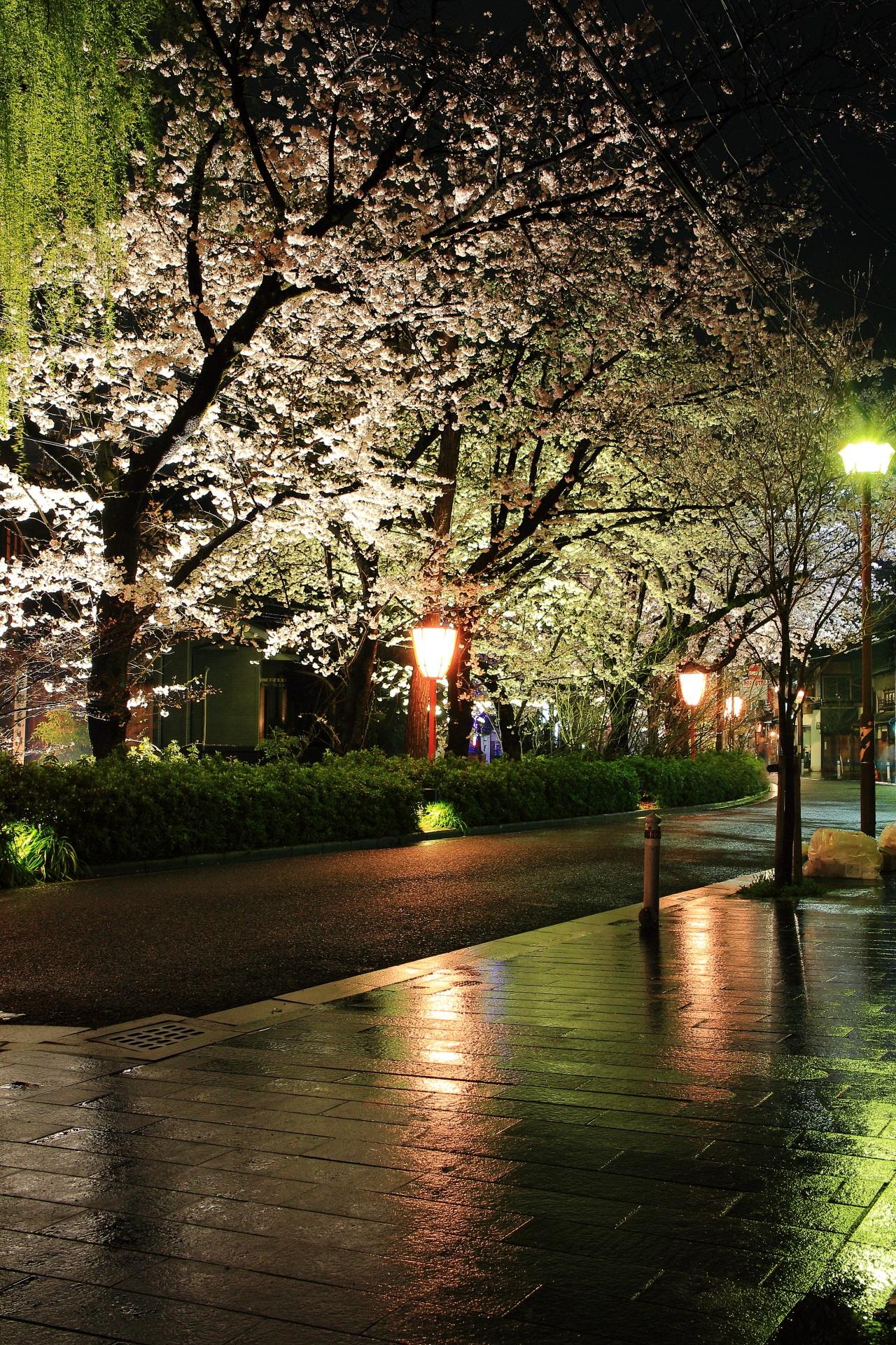 Kyoto Kiyamachi-dori Street cherryblossoms lightup
