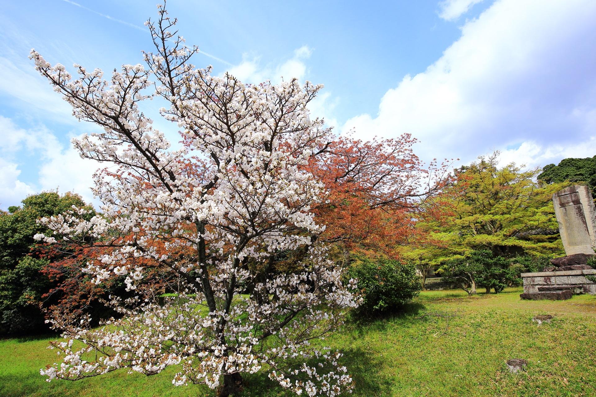 養源院の参道脇の桜