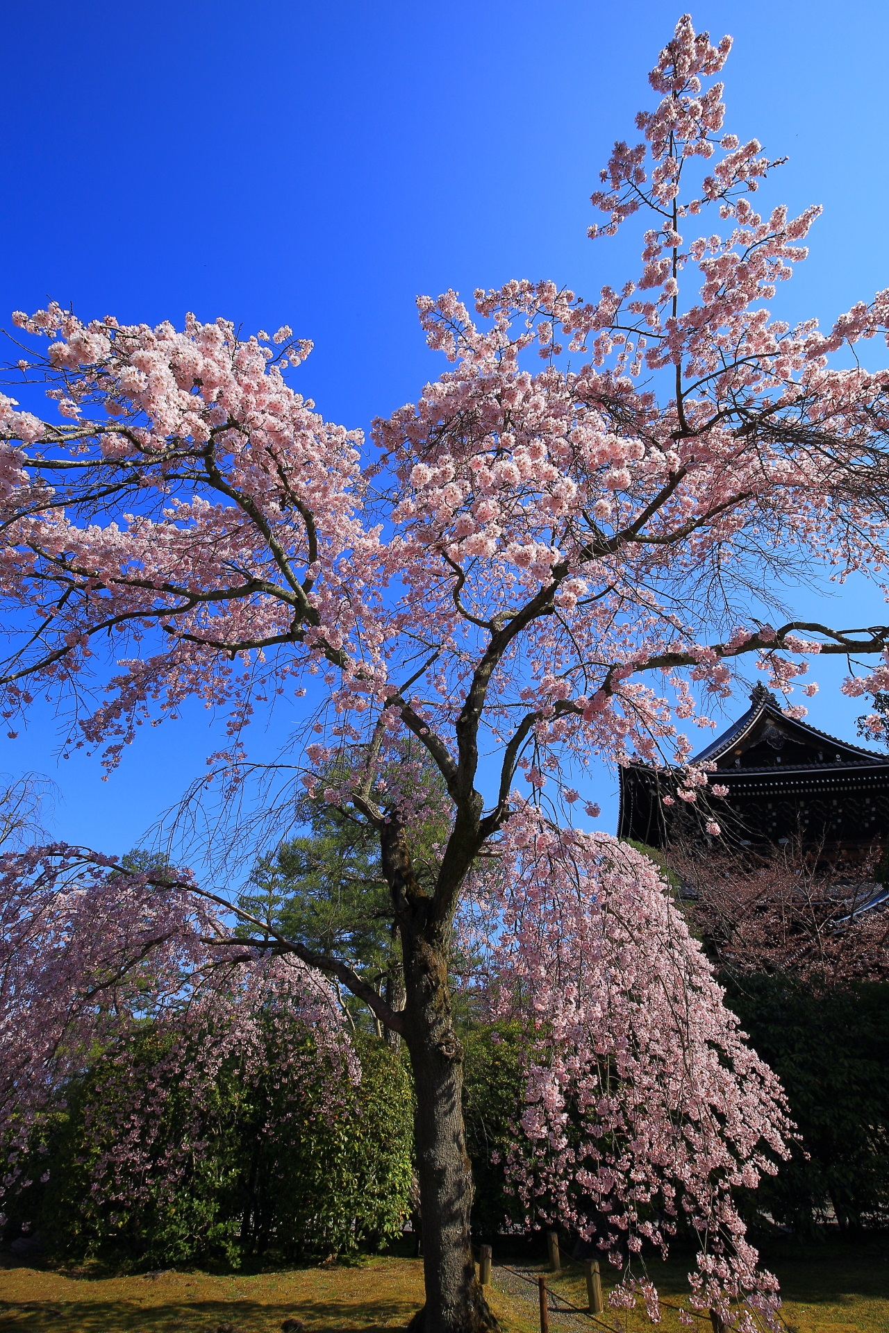 Kyoto Yuzenen-Garden cherry blossoms