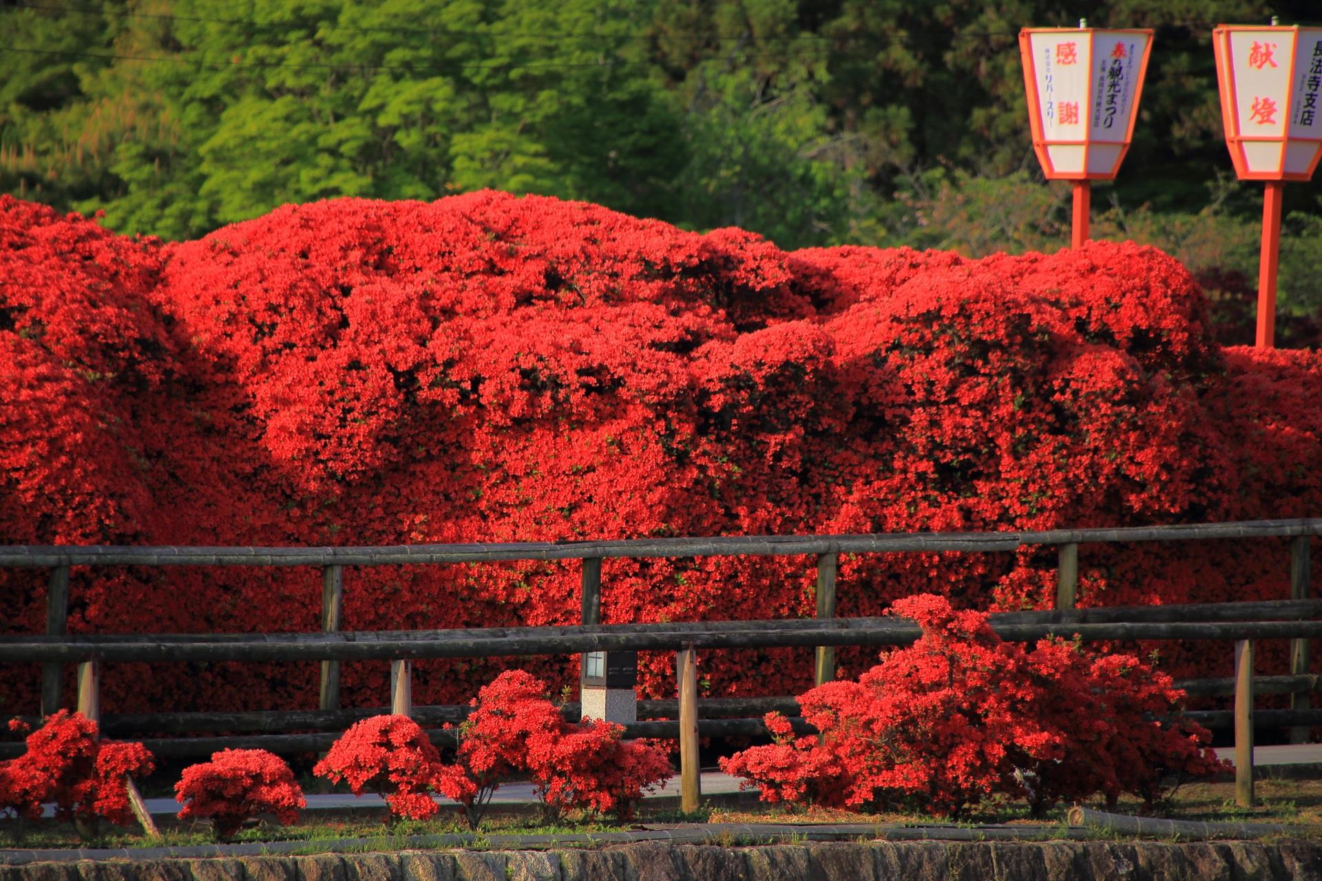 溢れんばかりに咲き誇る真っ赤なきりしまつつじの花