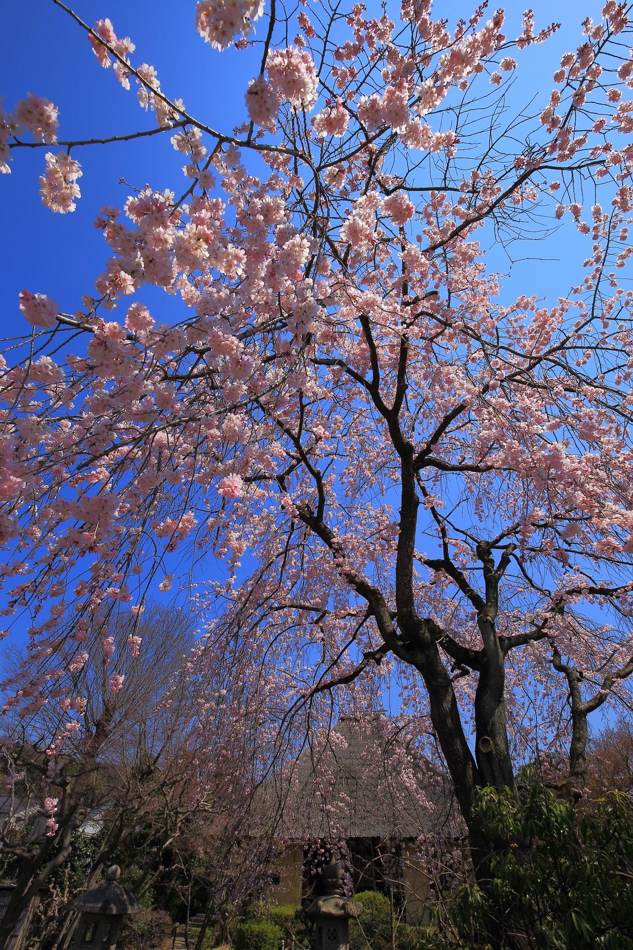瑞光寺の煌びやかなで華やかなしだれ桜