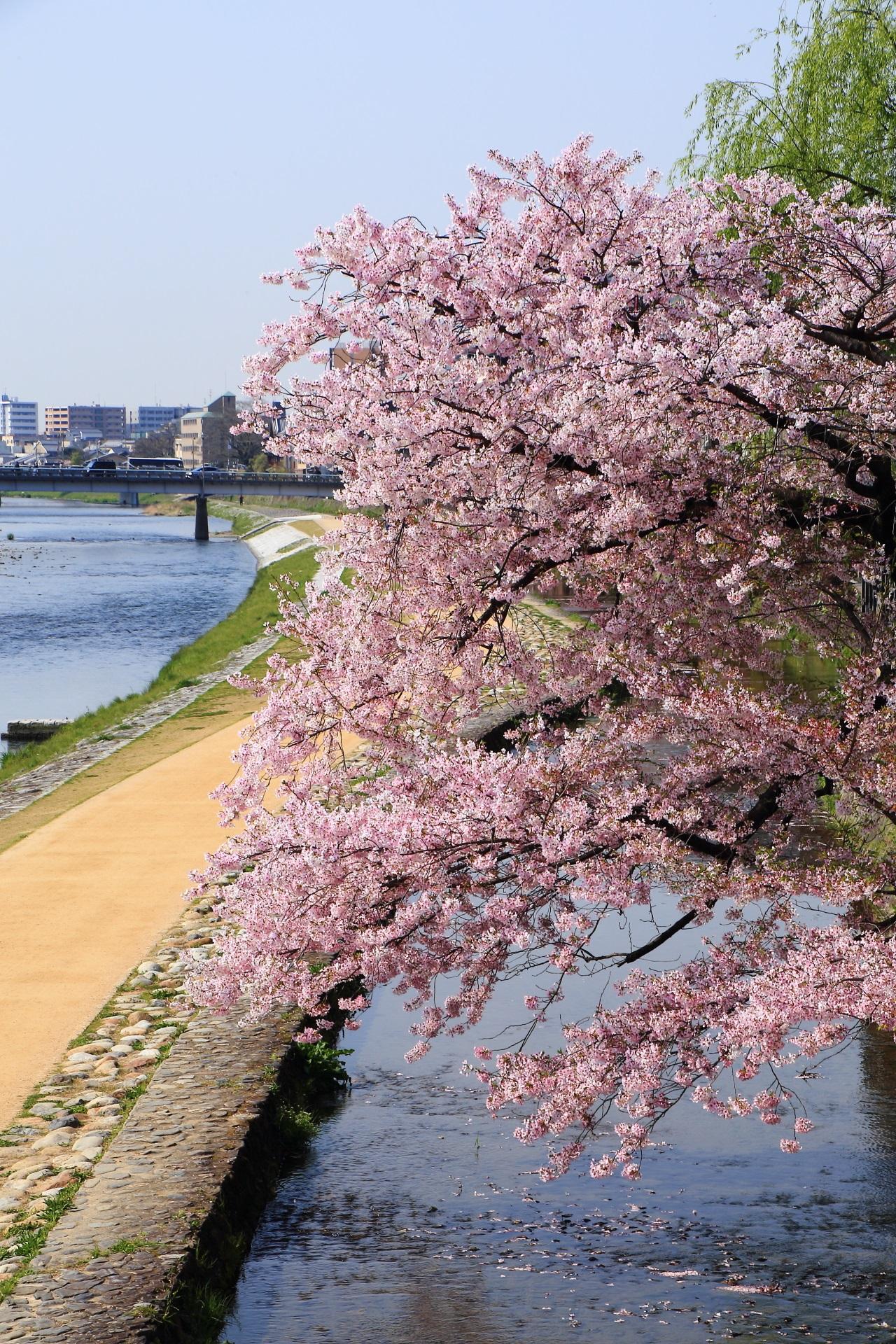 春の長閑でかつ豪快な桜の情景