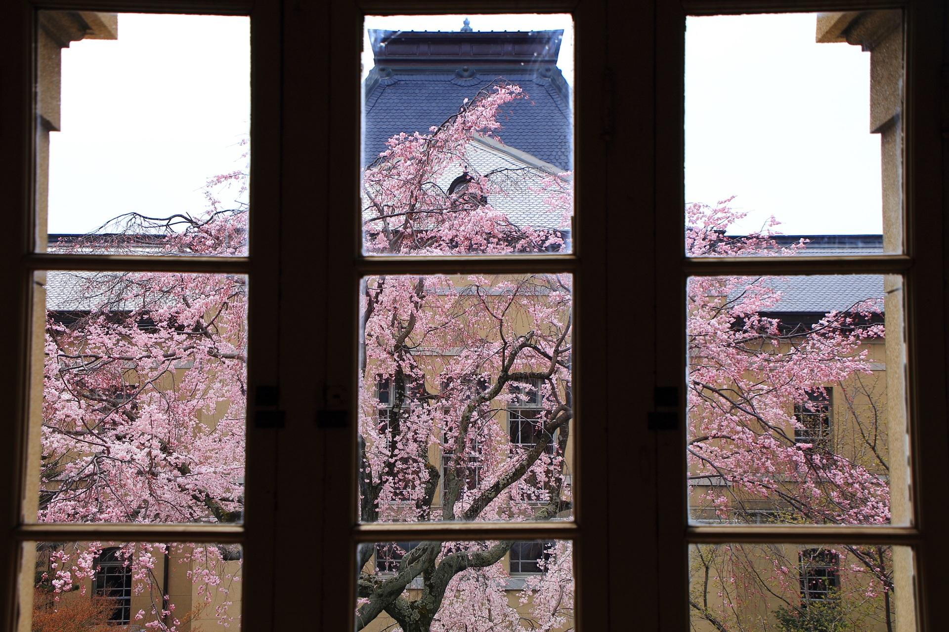 京都府庁旧本館の素晴らしい桜と建物
