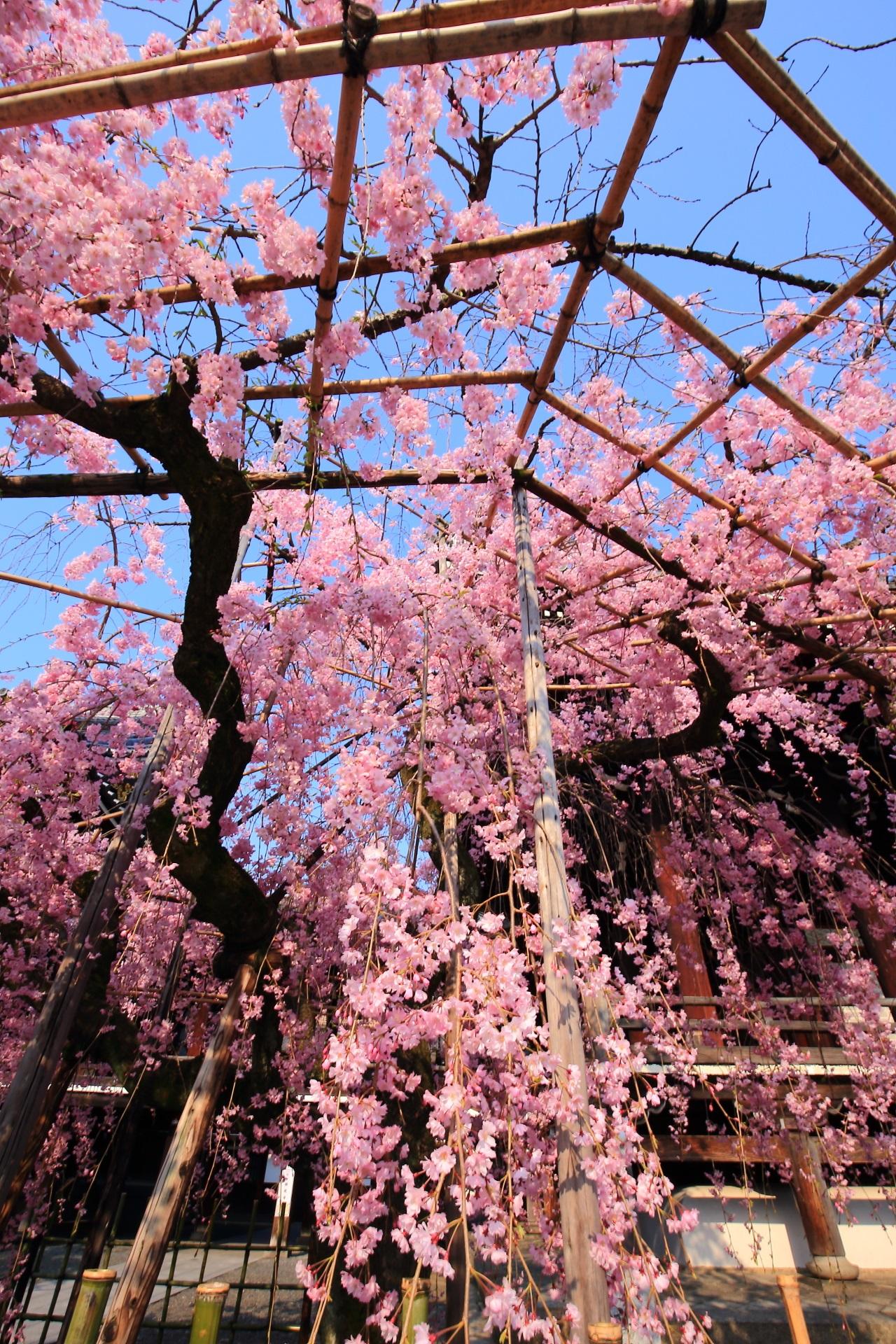 青空からふりそそぐ華やかなしだれ桜