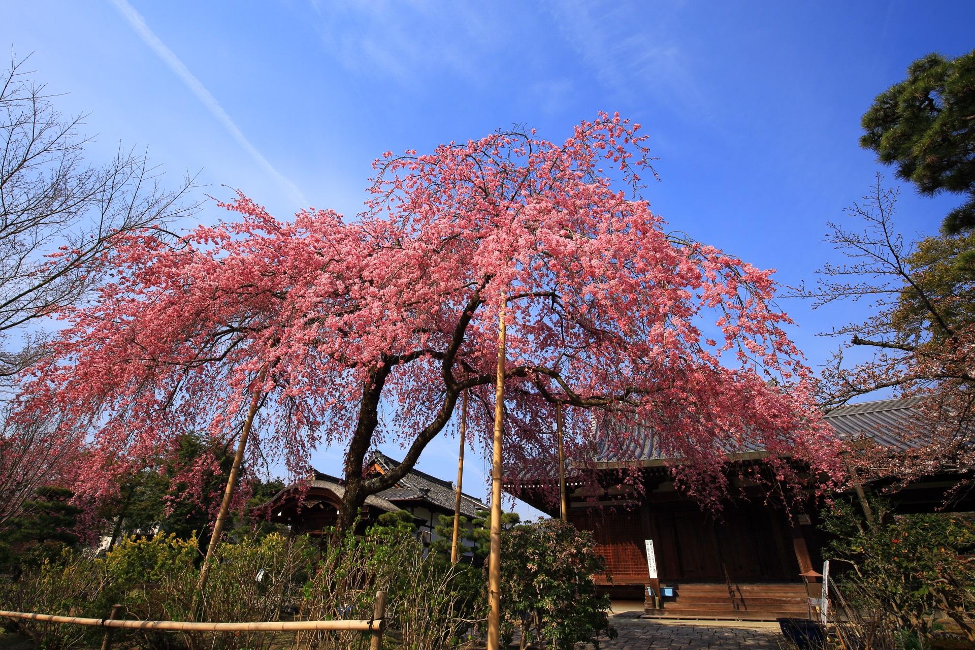 礼堂前の待賢門院桜(たいけんもんいんざくら)
