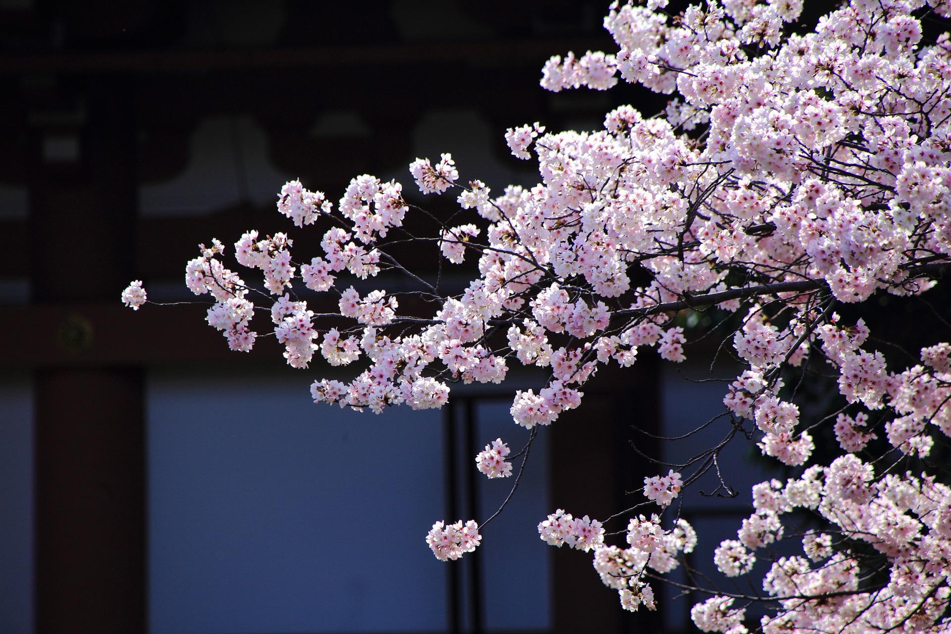 日が当たって煌びやかに輝く桜