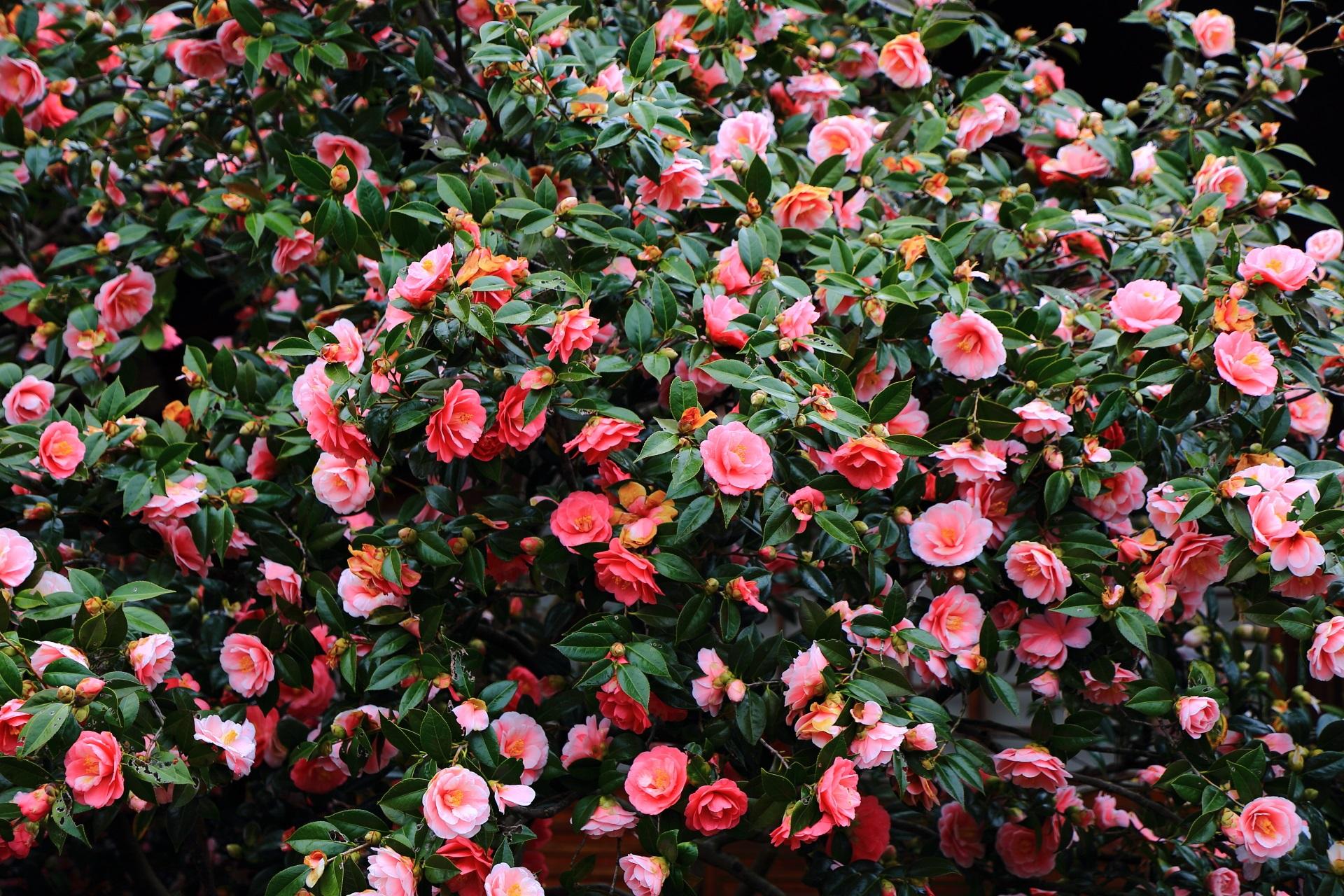 溢れんばかりに咲き誇る超満開の五色八重散椿