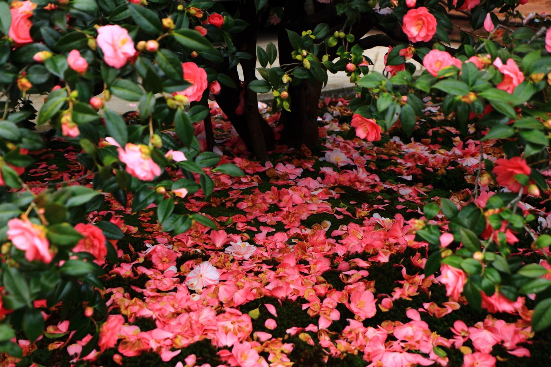 美しい椿の絨毯