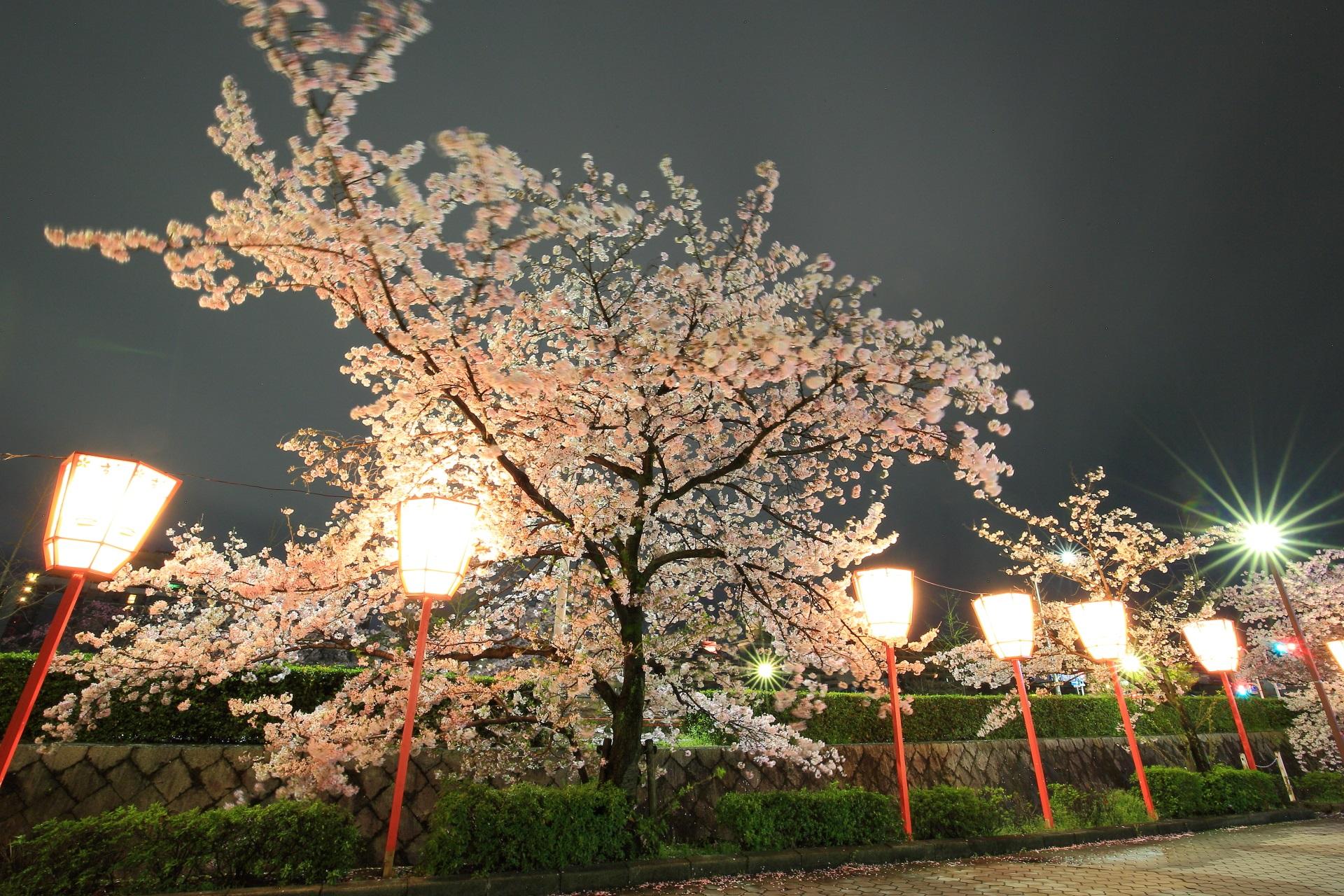 街灯や提燈などの緩い光に照らされた綺麗な宮川町の夜桜