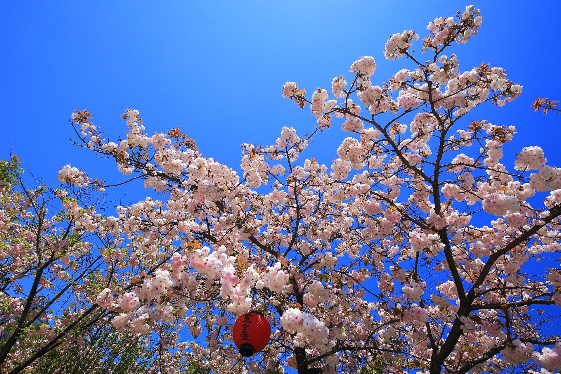 青空に映える華やかな桜