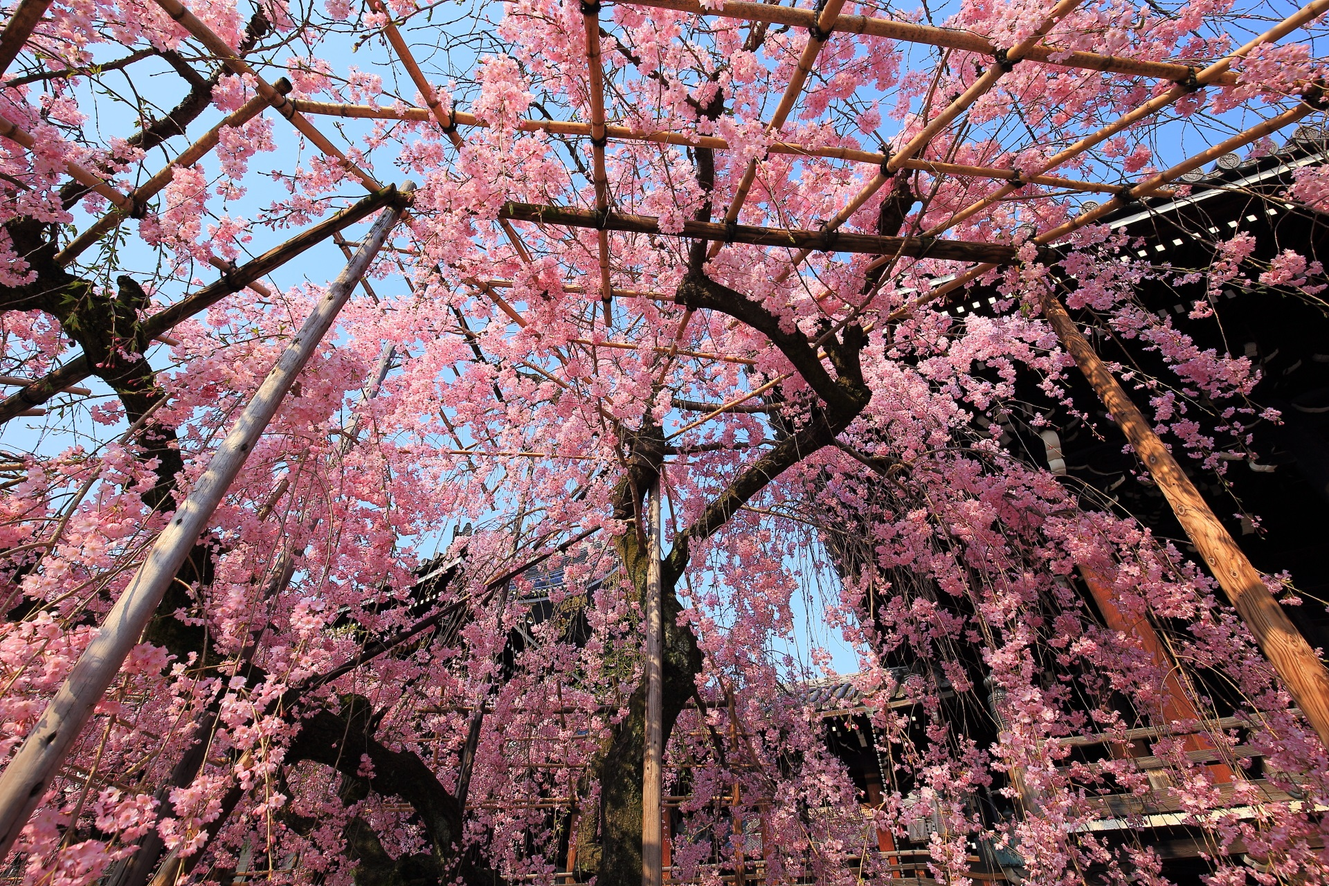 青空をおおうピンクのしだれ桜