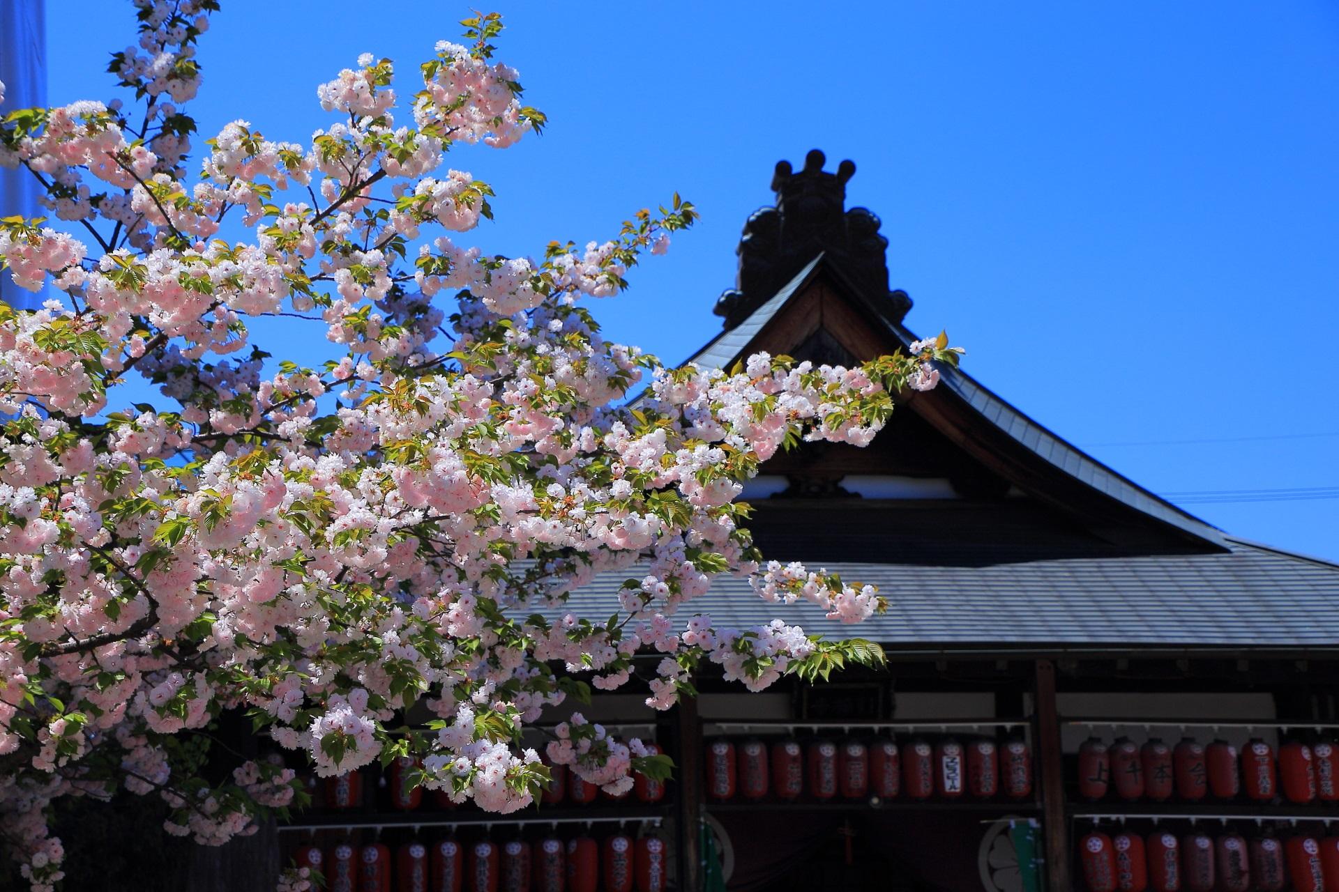 千本ゑんま堂(引接寺)の本堂前の八重桜