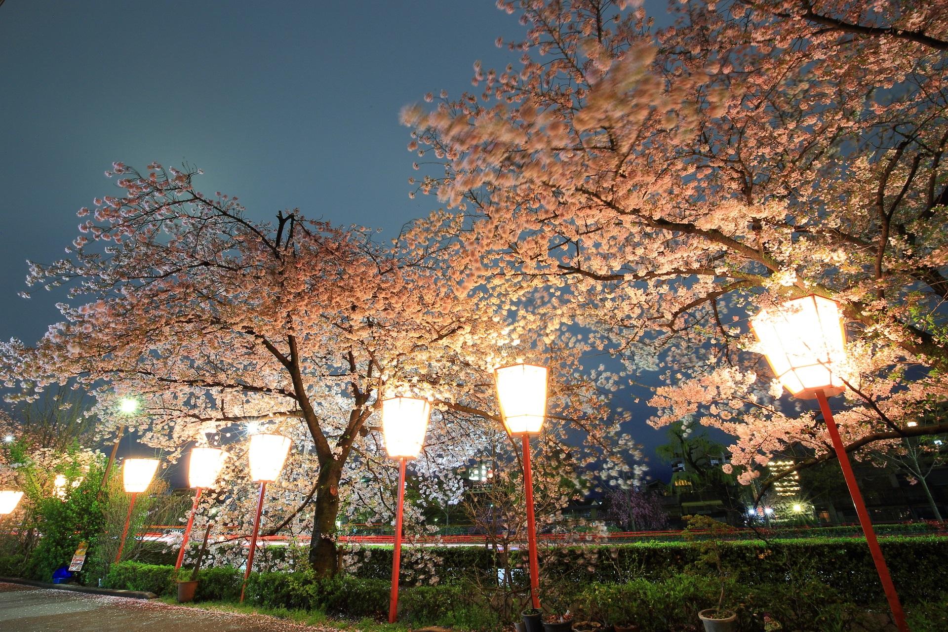 夜空を春色に彩る淡いピンクの桜