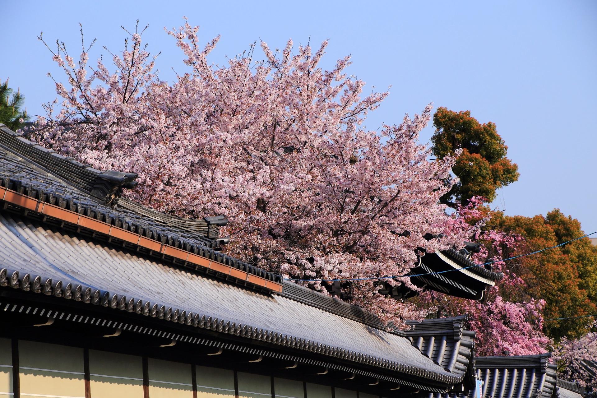 穴場的存在の仏光寺の桜