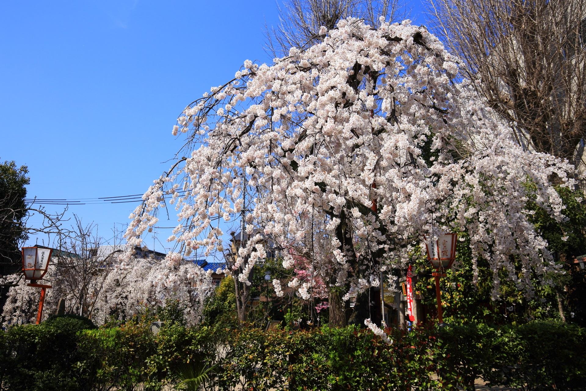 長建寺の庭園中央の満開のしだれ桜