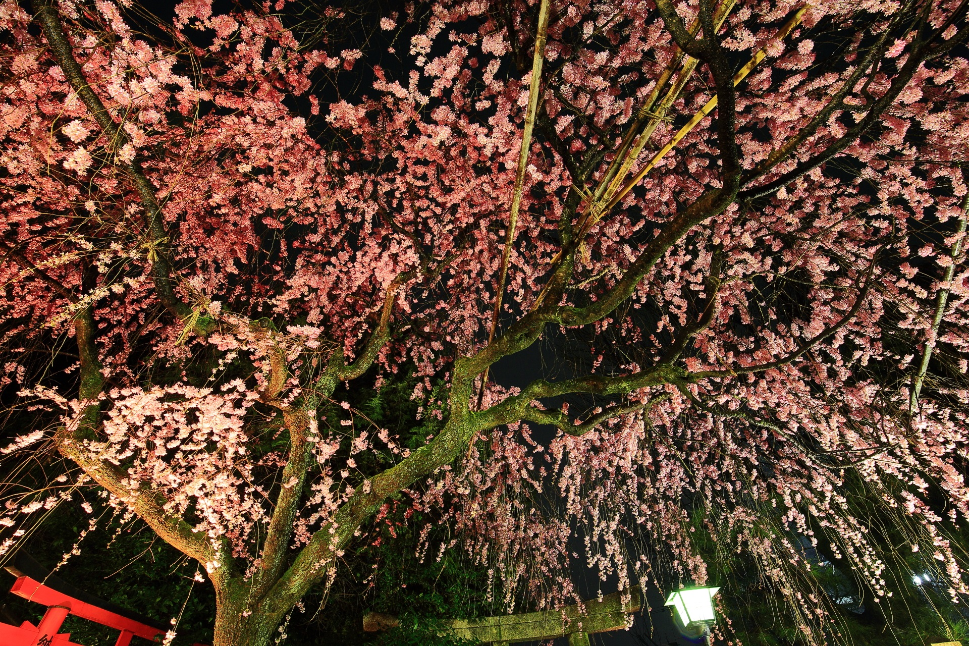 闇夜を華やかに彩るしだれ桜