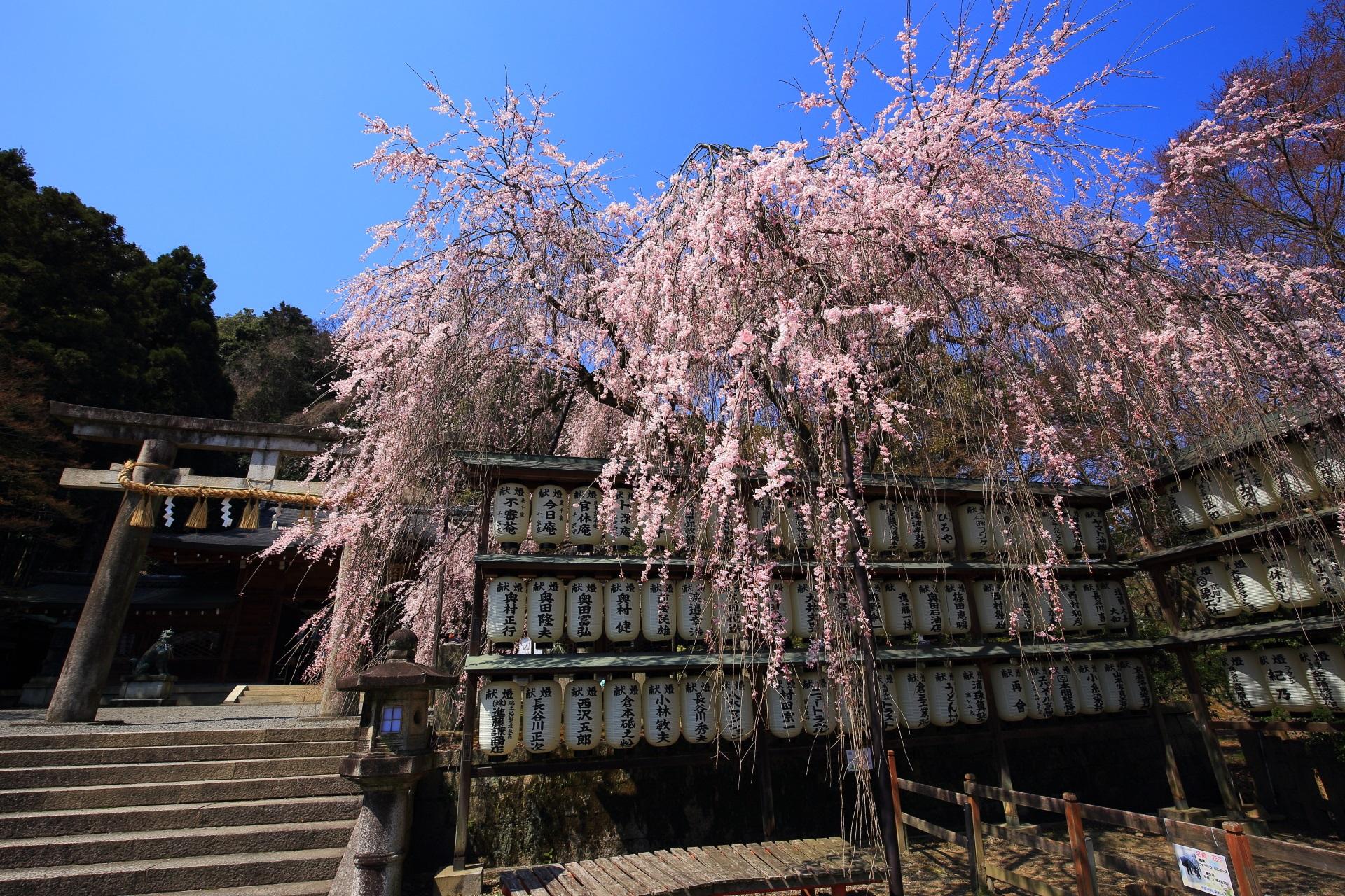 何度見ても絵になる駒形提灯としだれ桜の春の風景