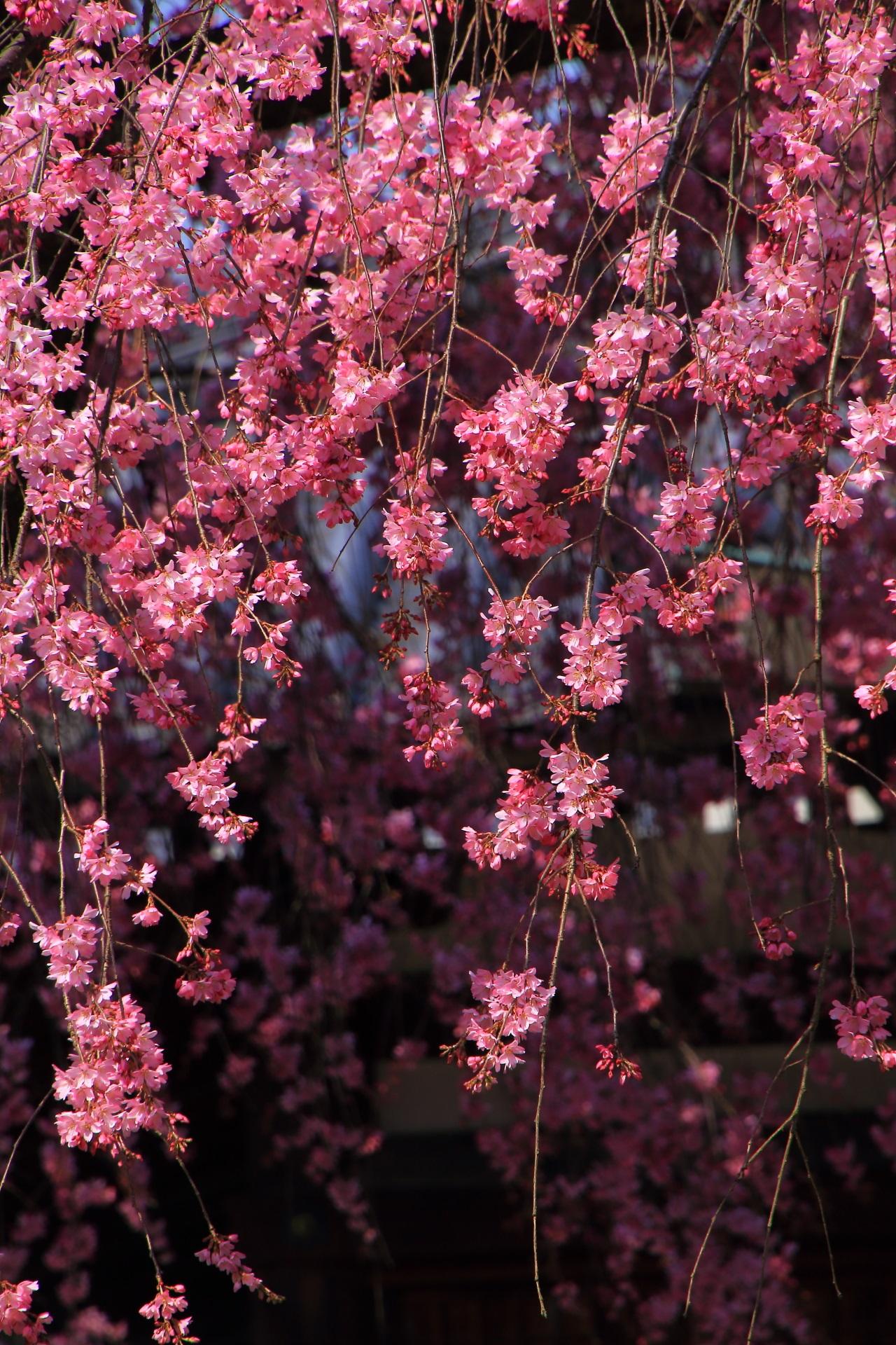 礼拝堂を背景にして緩い光に照らされる濃いピンクの花びら