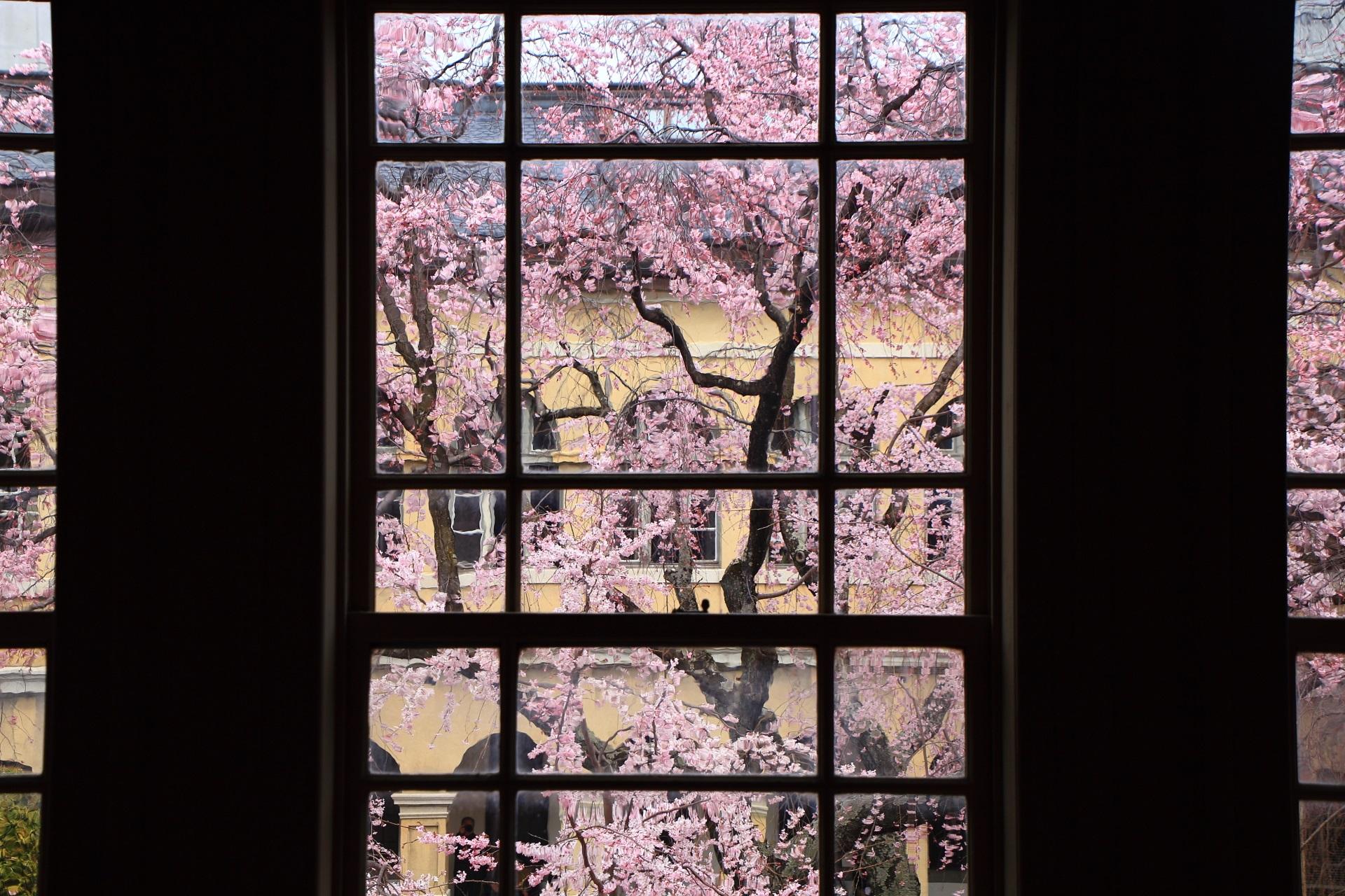 窓いっぱいに広がる満開の桜