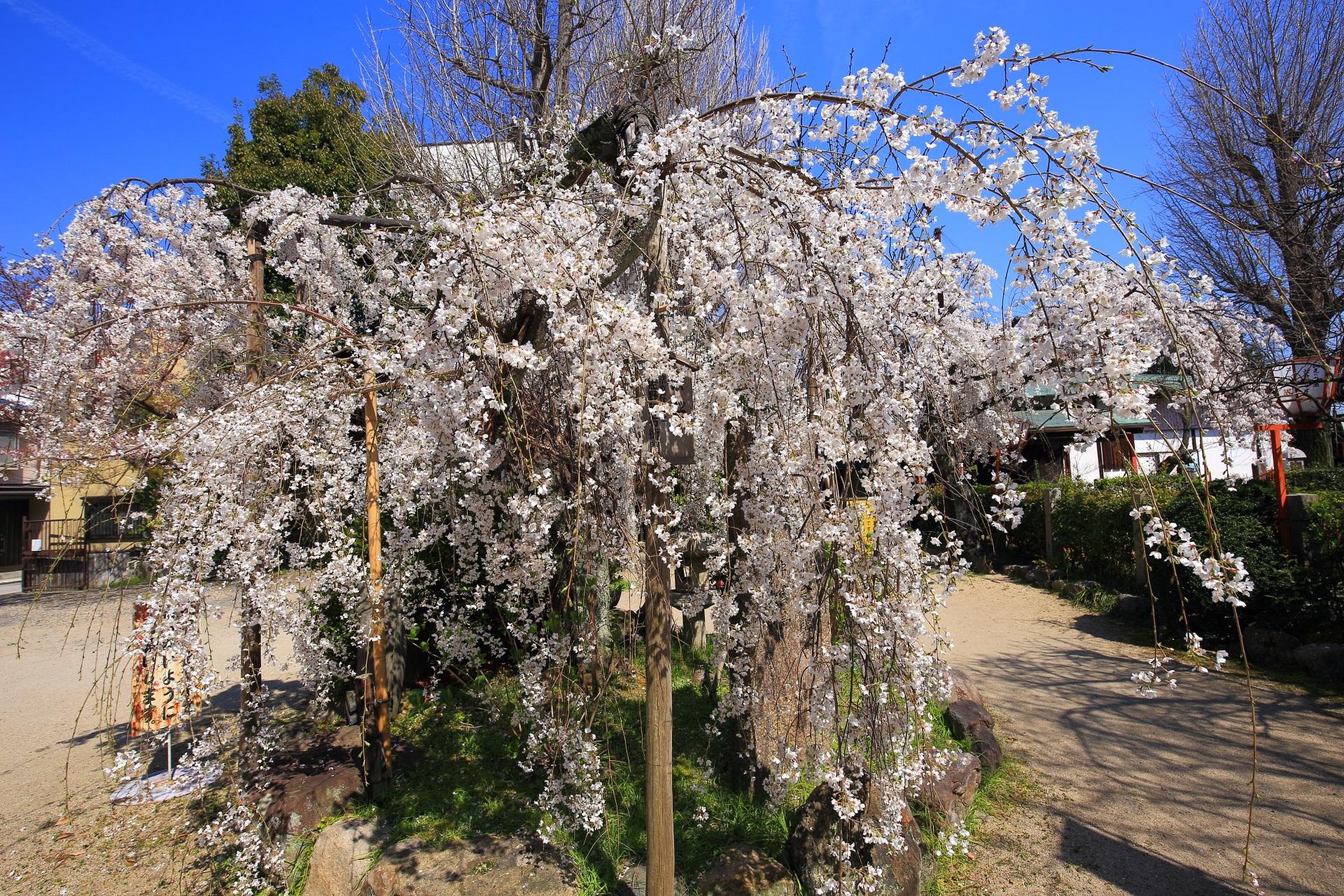 繊細で白い花のしだれ桜