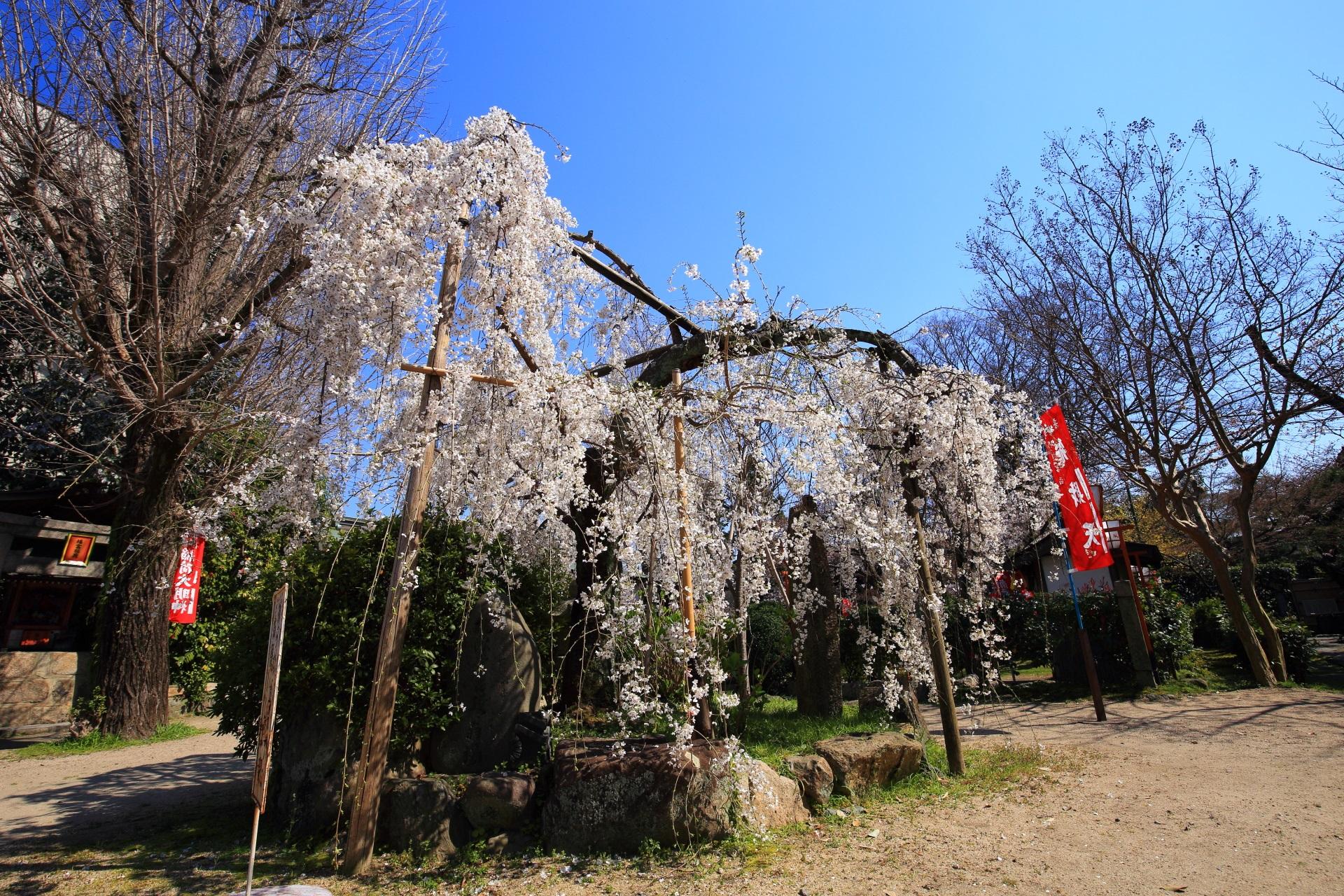 長建寺のまだまだ見ごろの華やかなしだれ桜