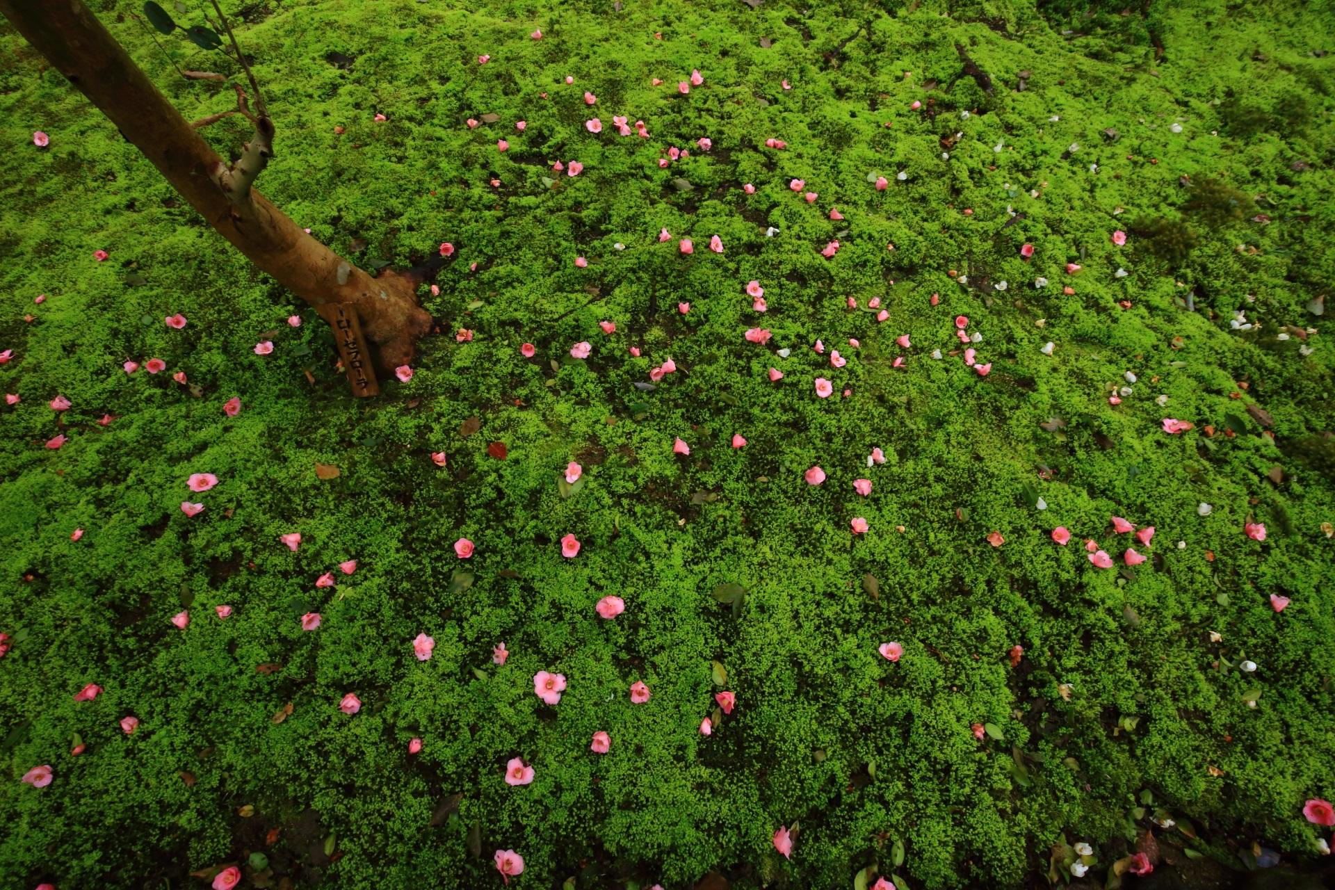 散り椿の見事なピンクのアクセント