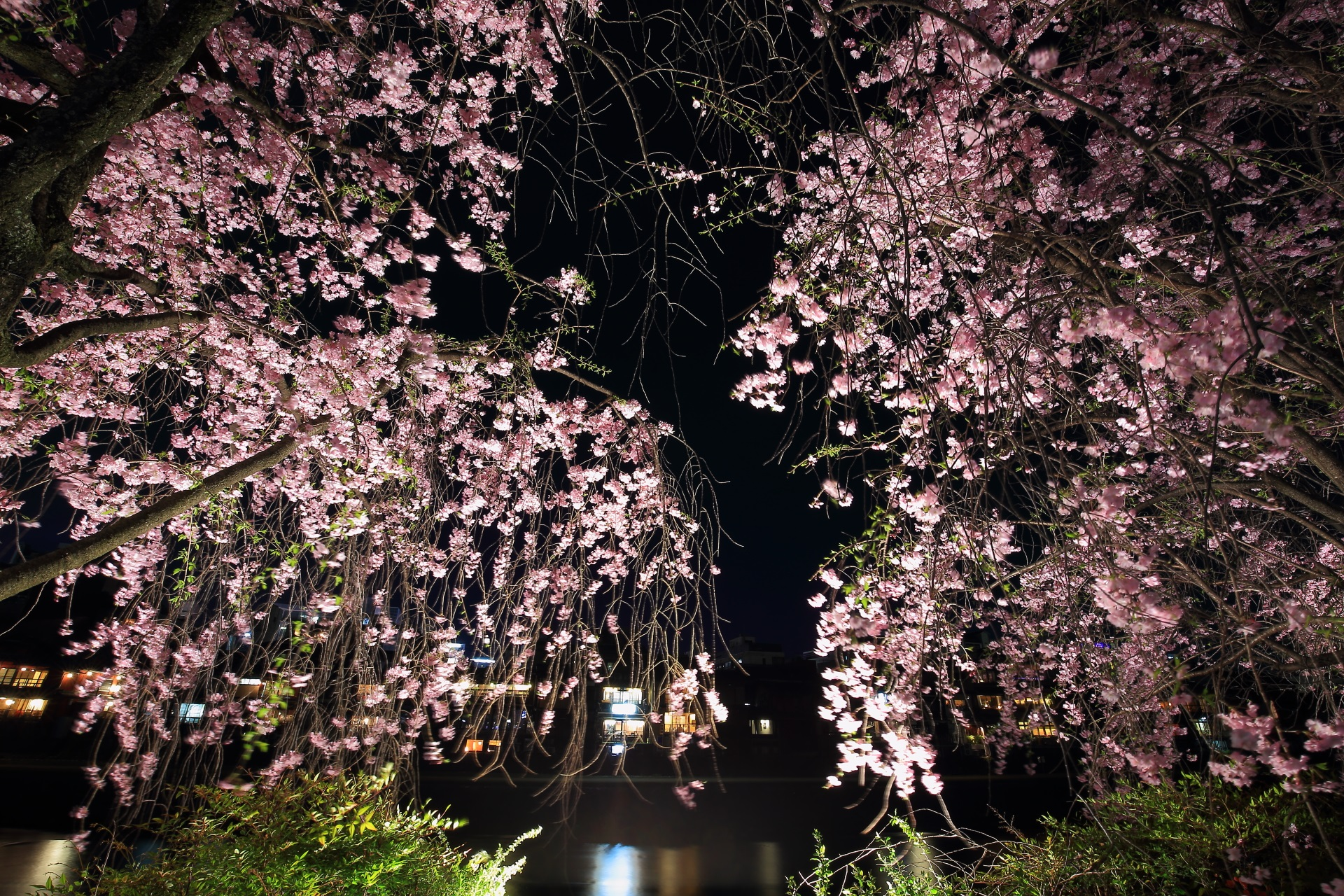 weeping cherry tree lightup Kamo-gawa River in Kyoto,Japan