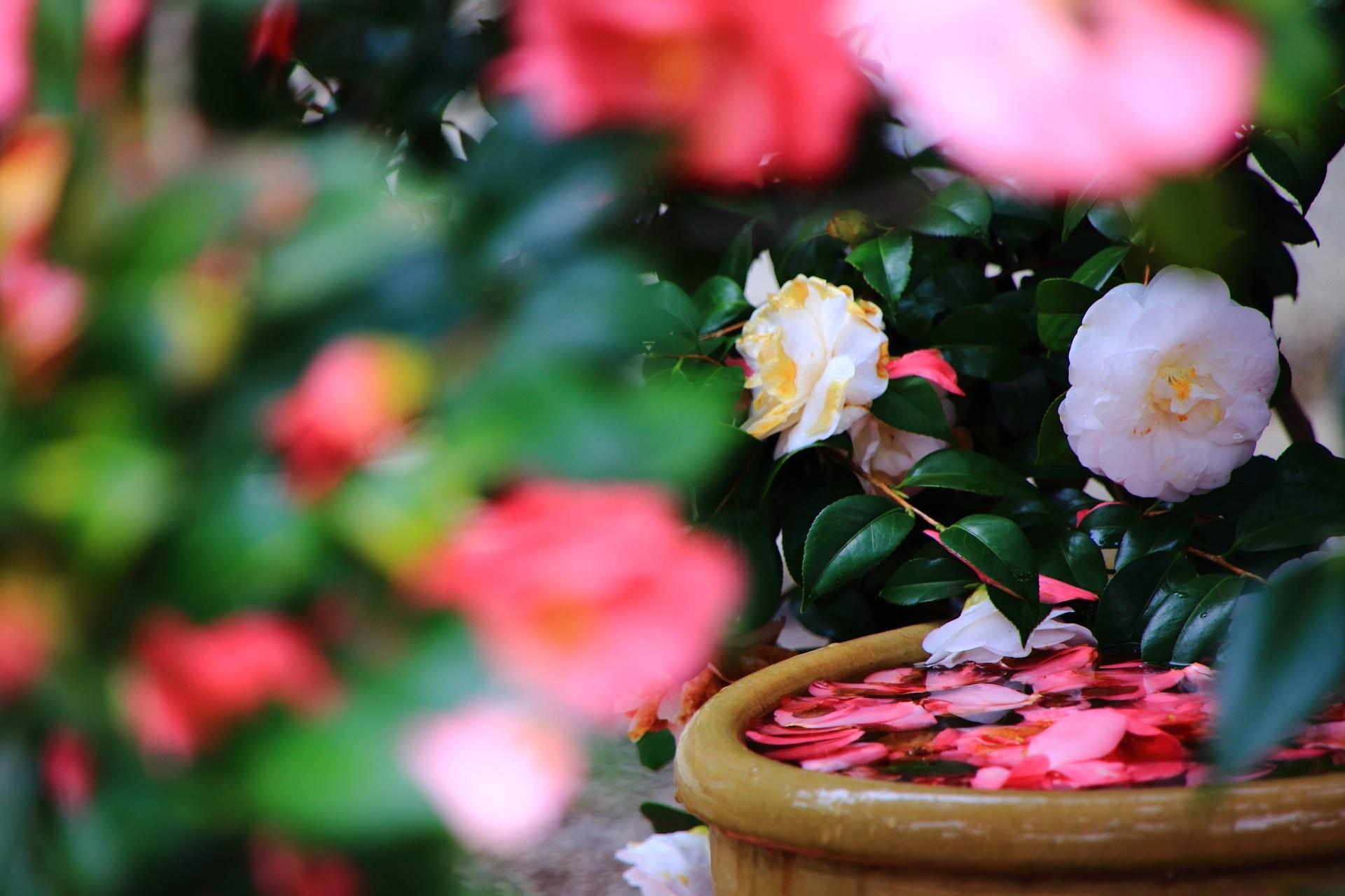 風情もあり絵になる何とも素晴らしい水鉢と椿と散り椿
