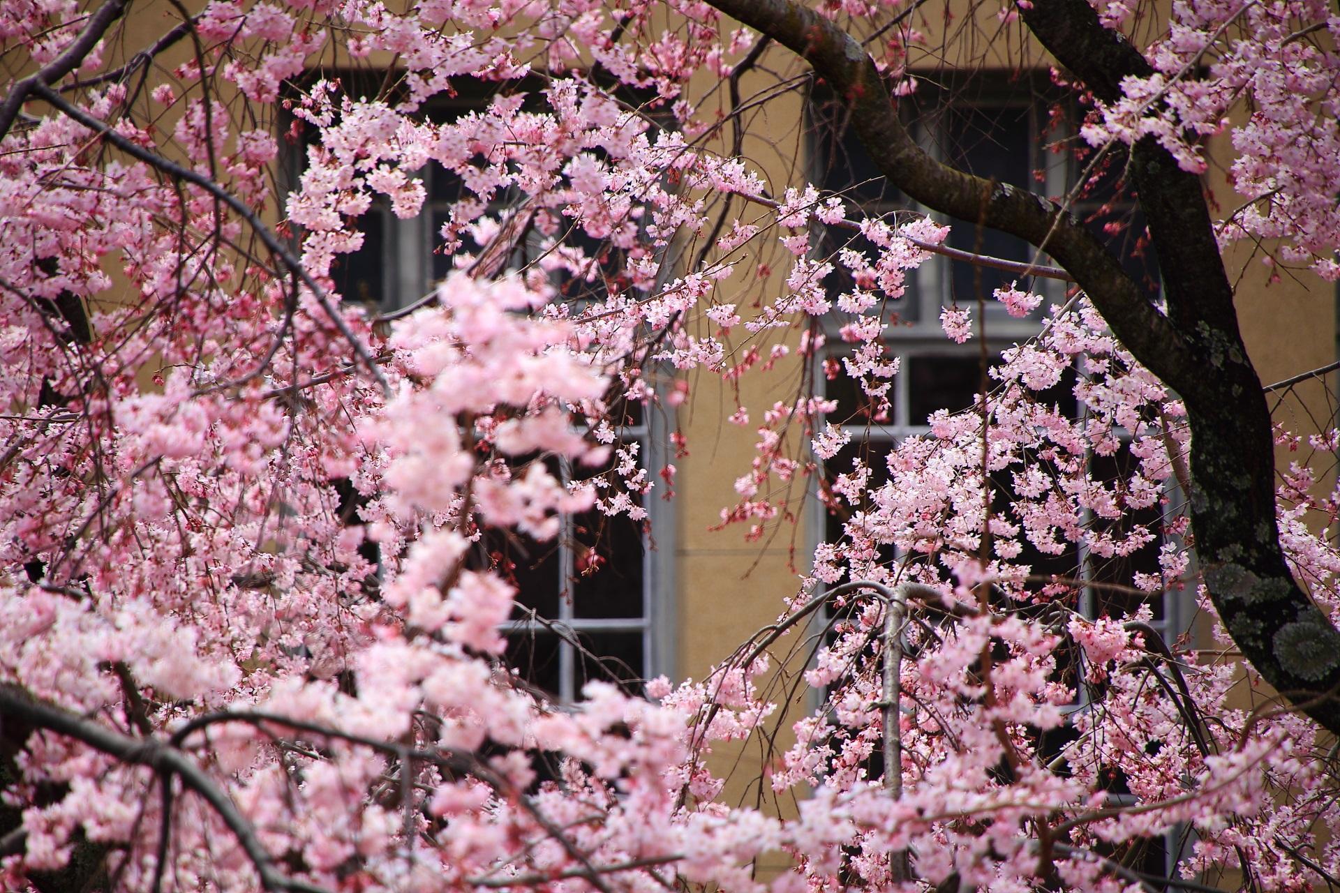 何となく王朝っぽい雰囲気もする桜